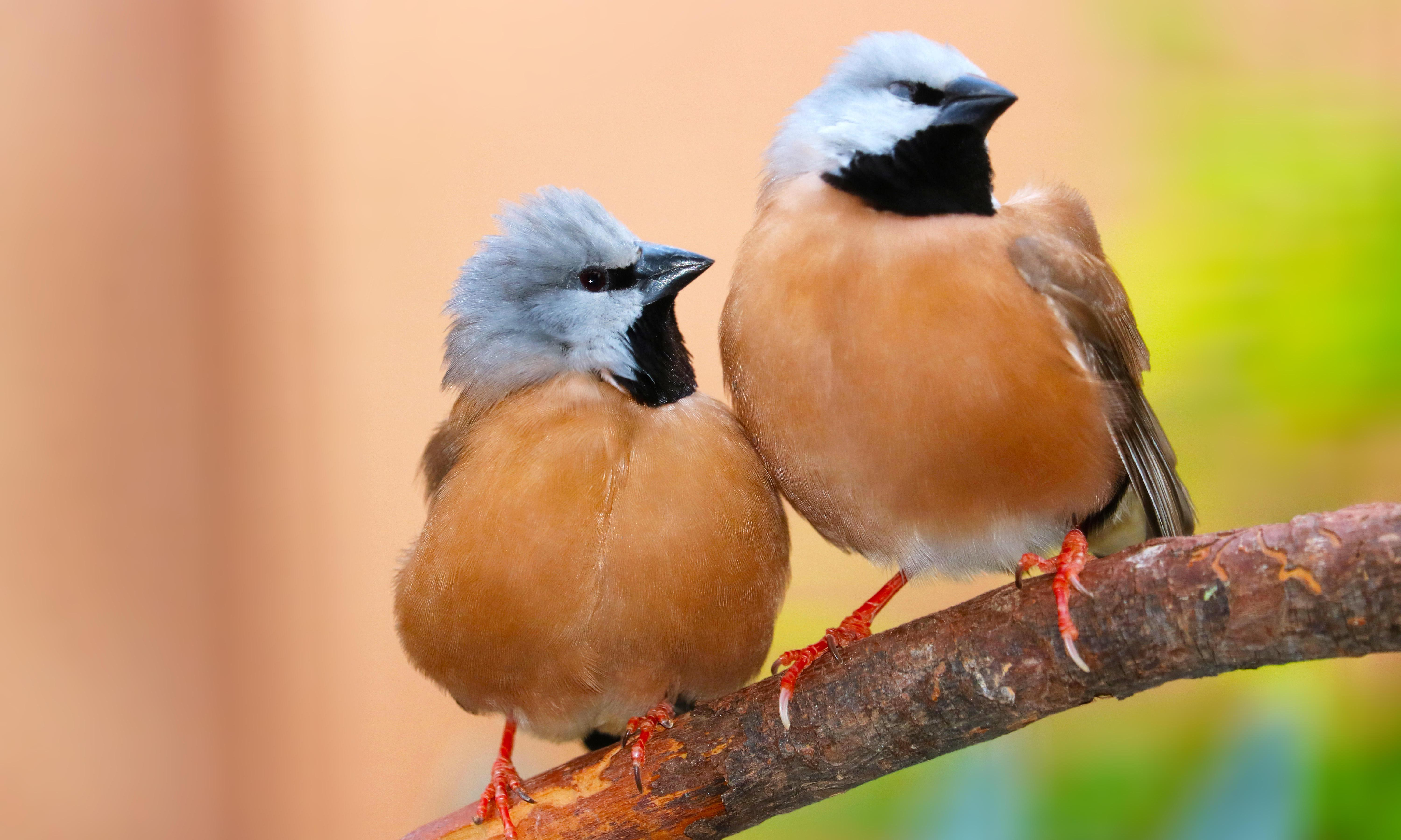 Adani mine could snuff out black-throated finch's last chances of survival