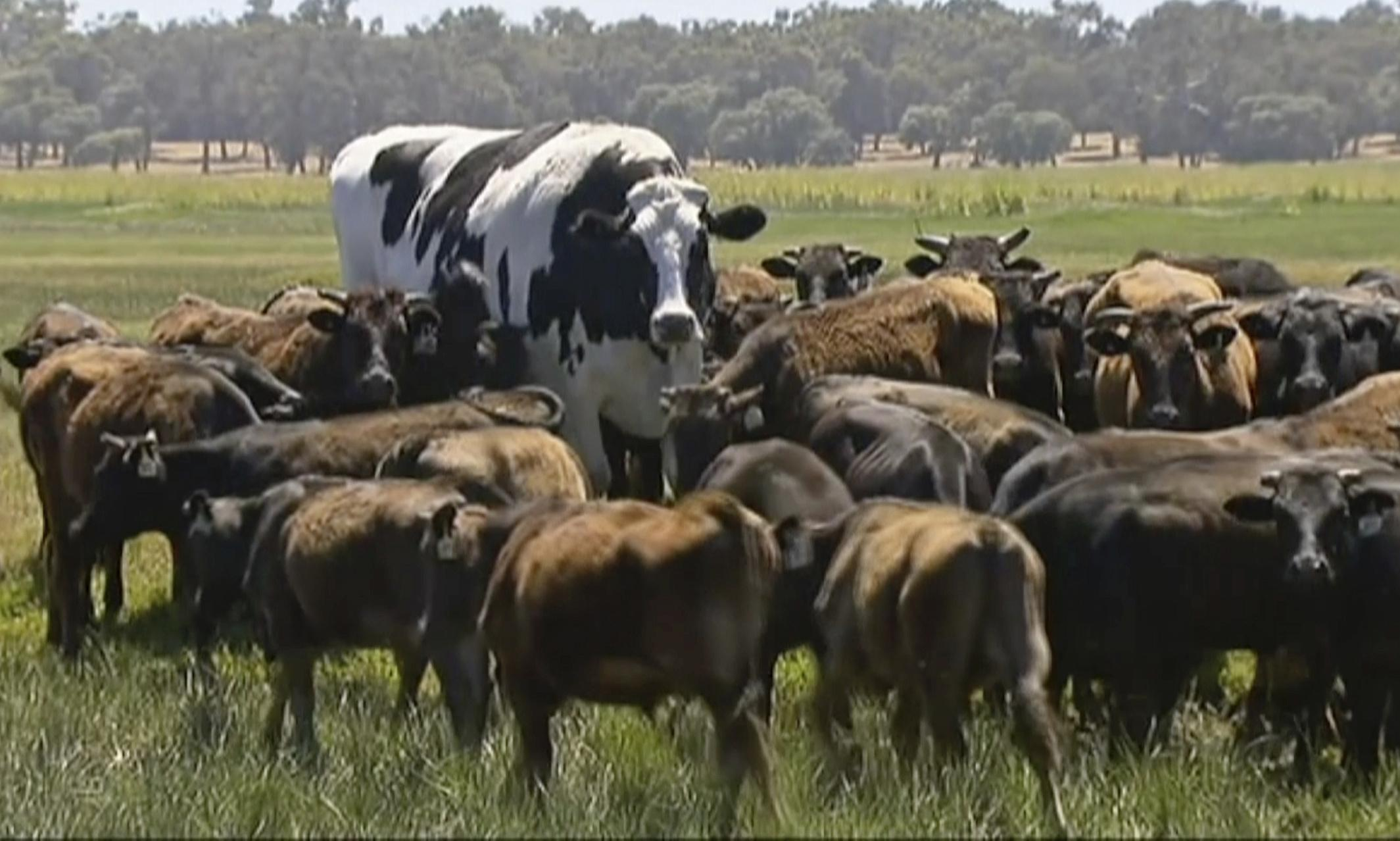 Knickers the cow: why Australia's giant steer is so fascinating