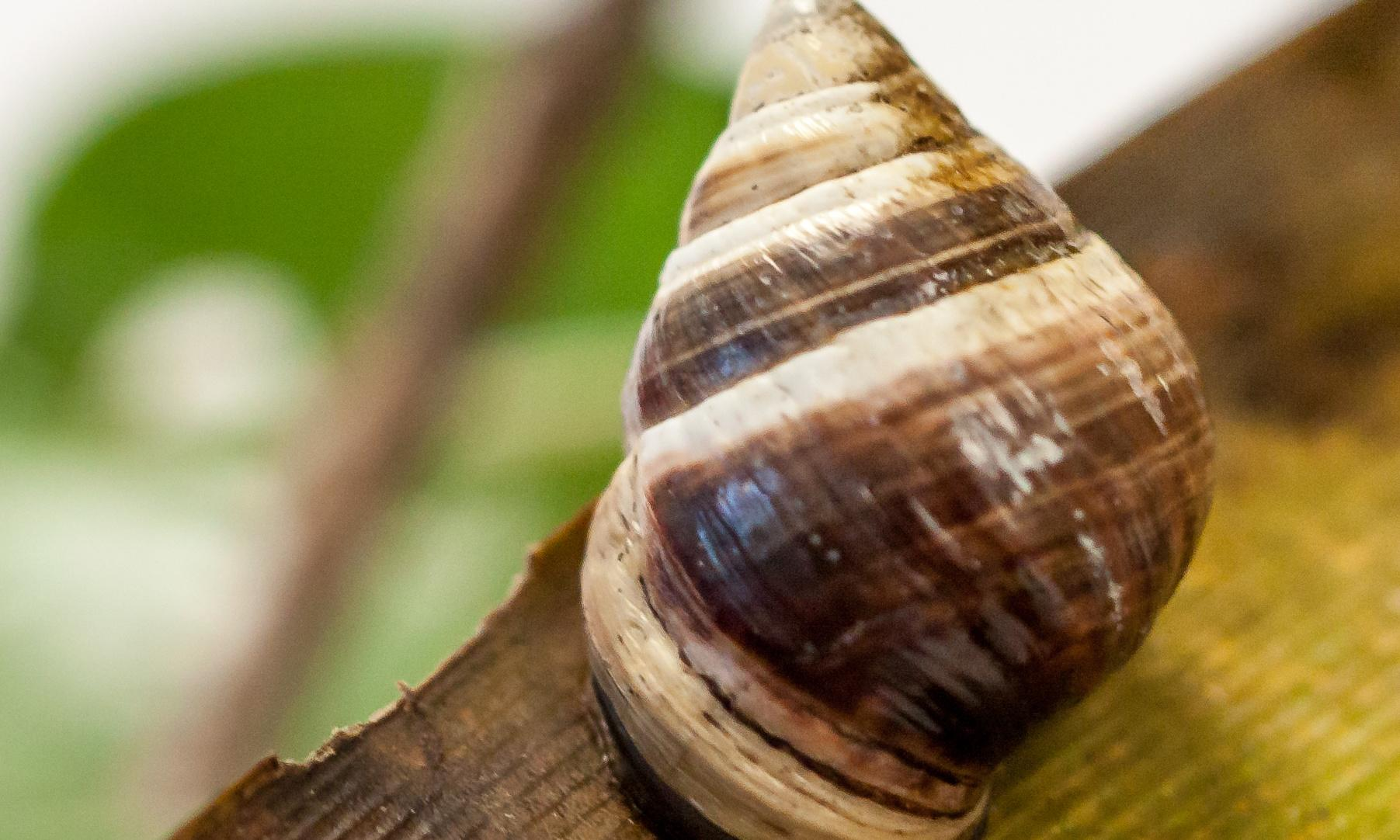 'Voice of the forest': George the snail, last of his kind, dies at age 14