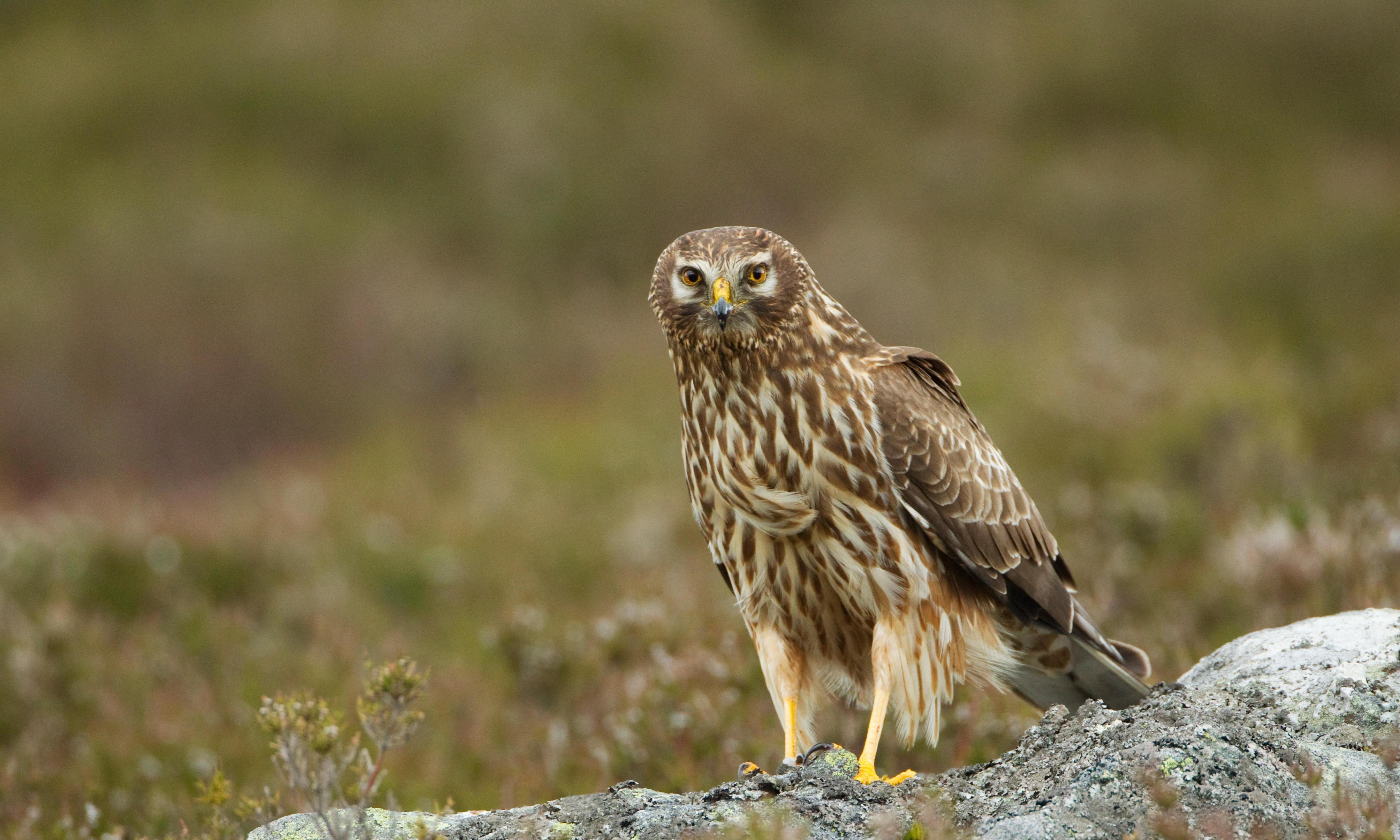 Seven in 10 hen harriers in UK study likely illegally killed
