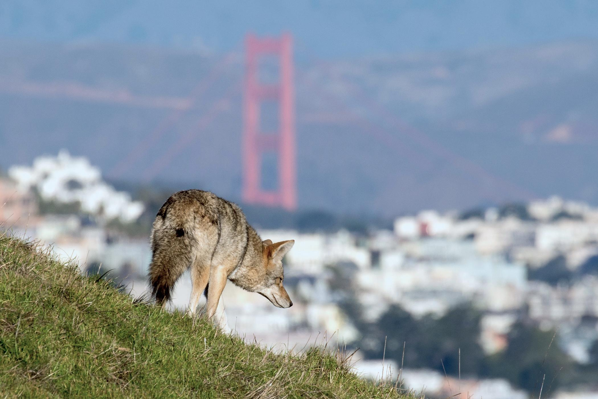 'They're no different from us': the woman who follows urban coyotes
