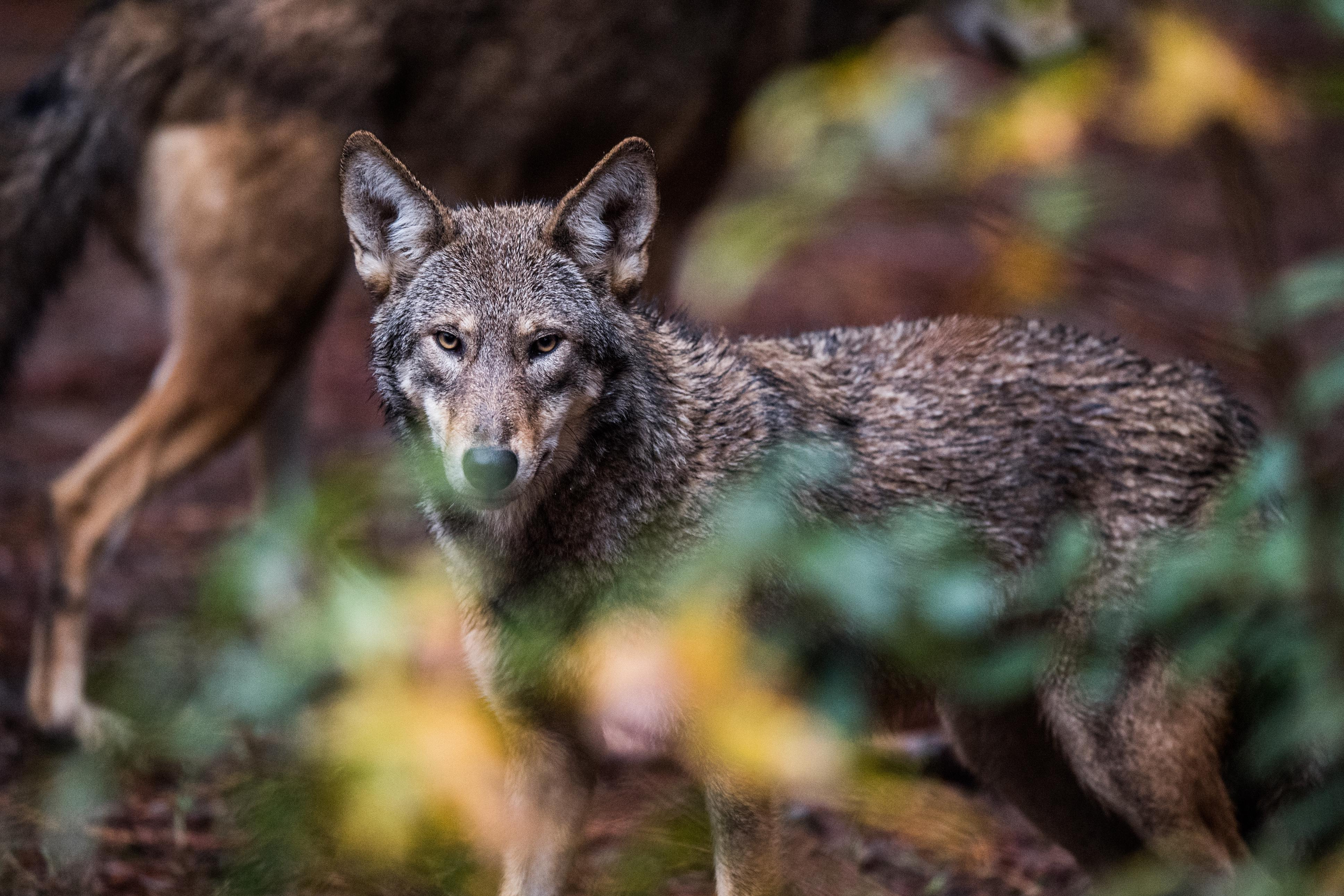 Red wolf: the struggle to save one of the rarest animals on Earth