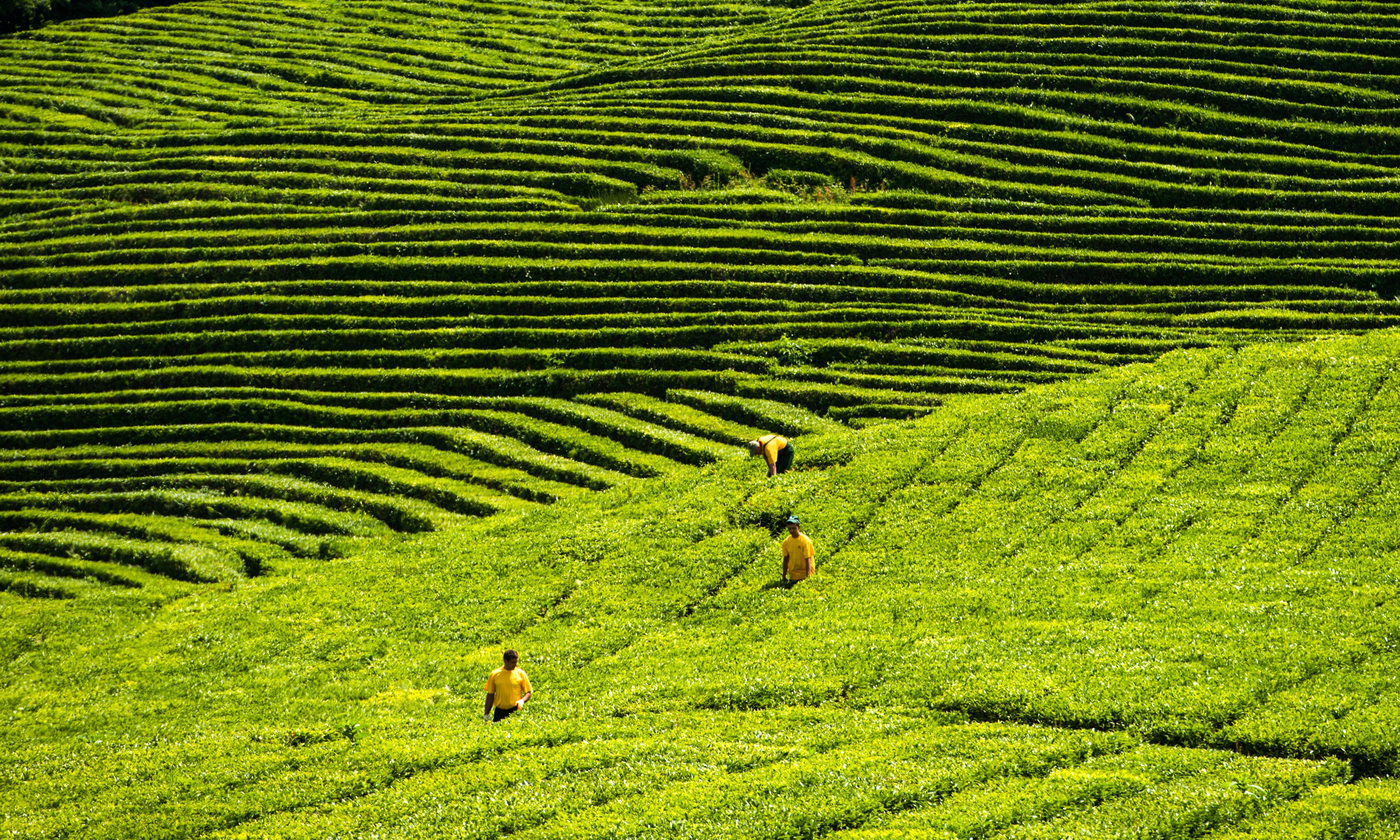 Green tea may help reduce risk of heart attacks
