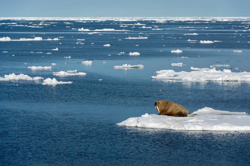 A walrus rests on an ice floe near Svalbard, Norway. A new study predicts that summer sea ice floating on the surface of the Arctic Ocean could disappear entirely by 2035.