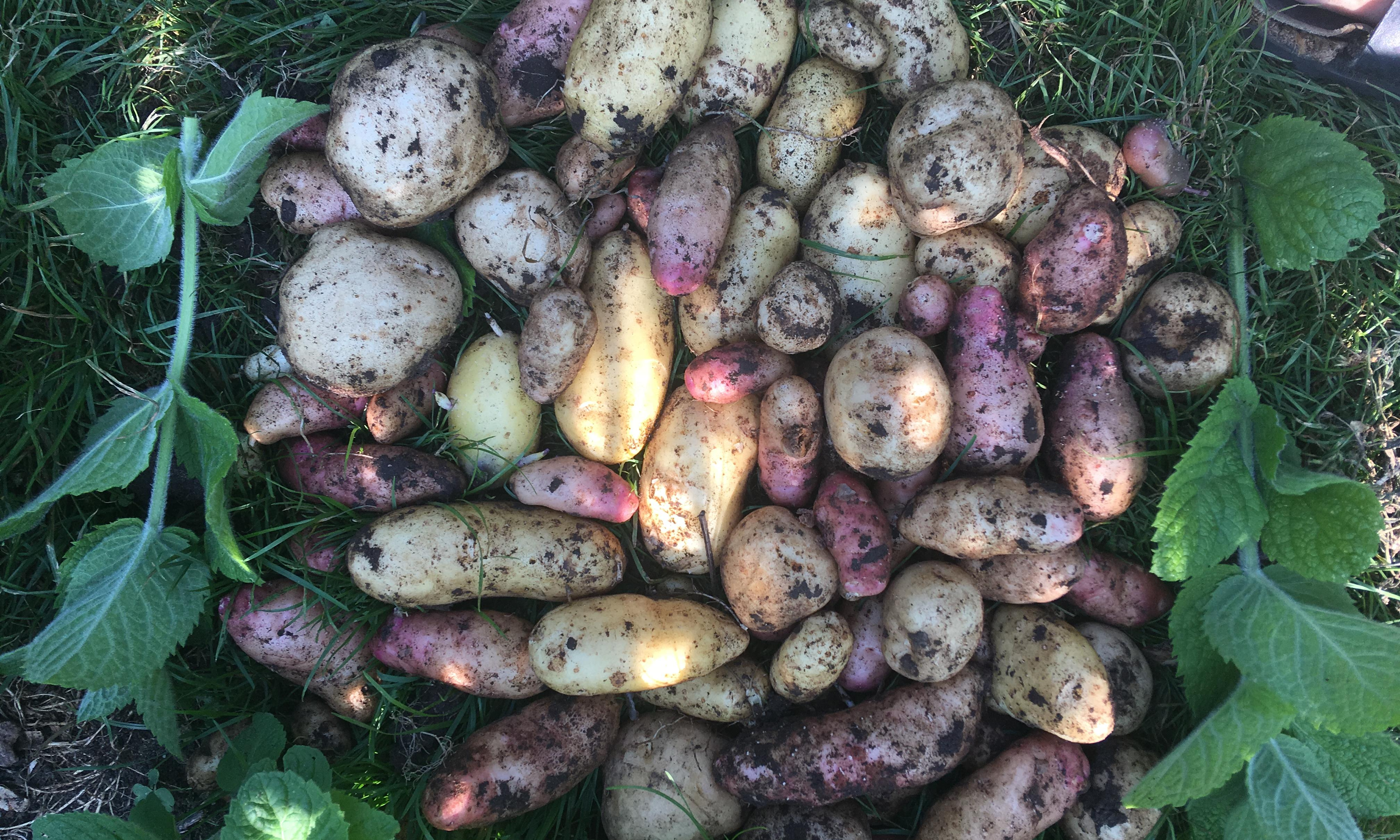 The magic of growing potatoes never fades