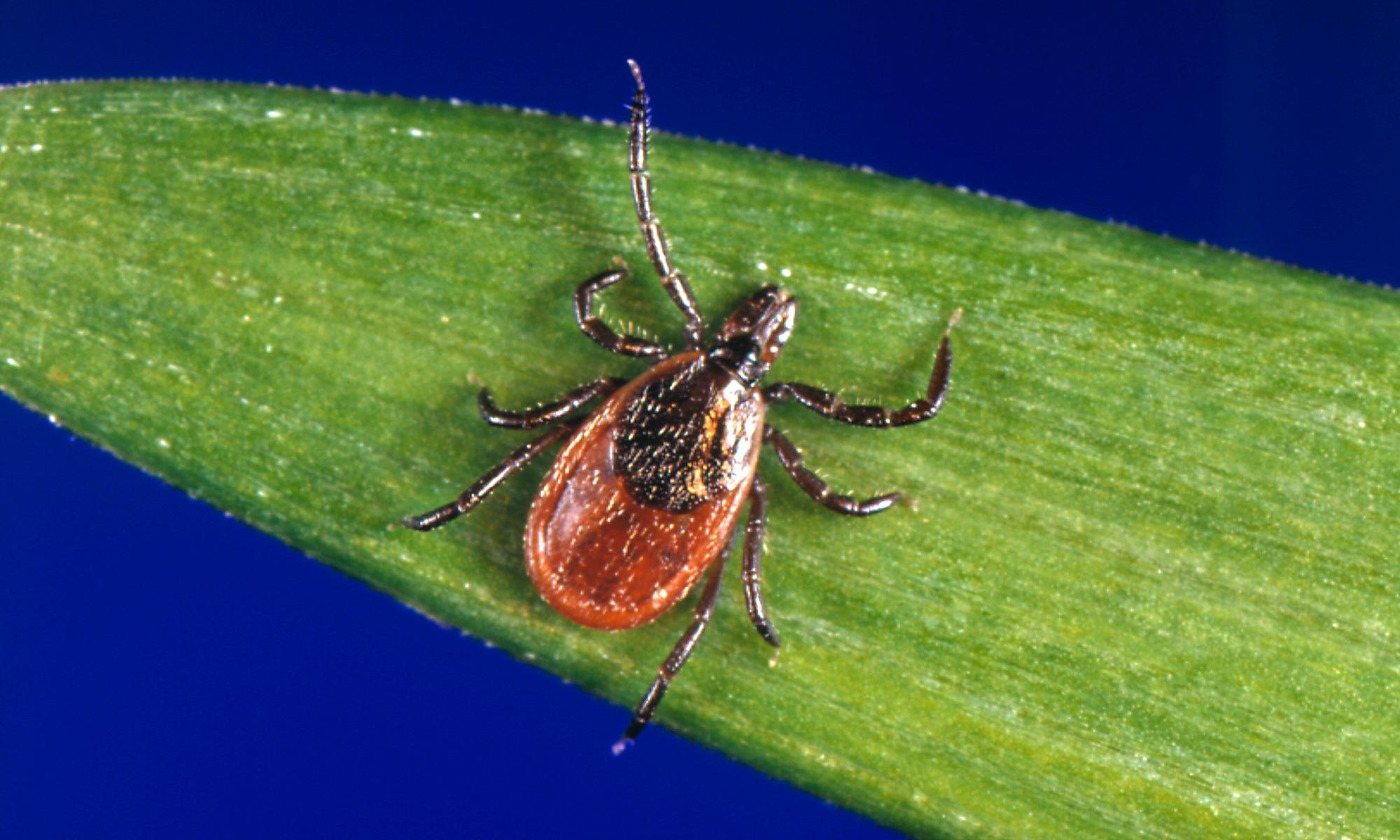 Forget Ebola, Sars and Zika: ticks are the next global health threat