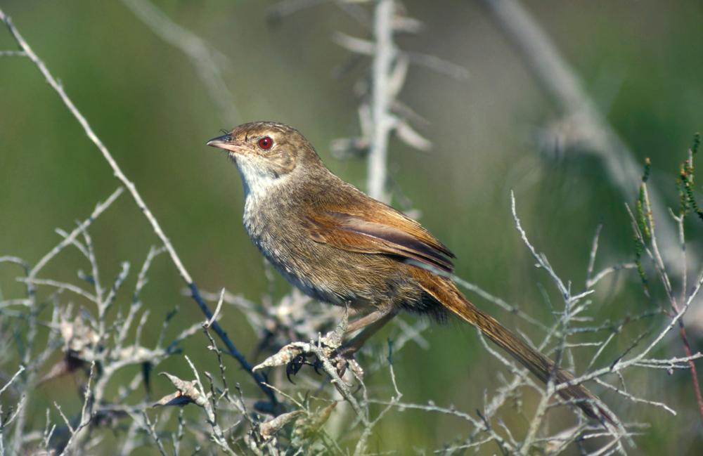 The heathland scrub that straddles the Victoria-NSW border is home to the endangered eastern bristlebird.