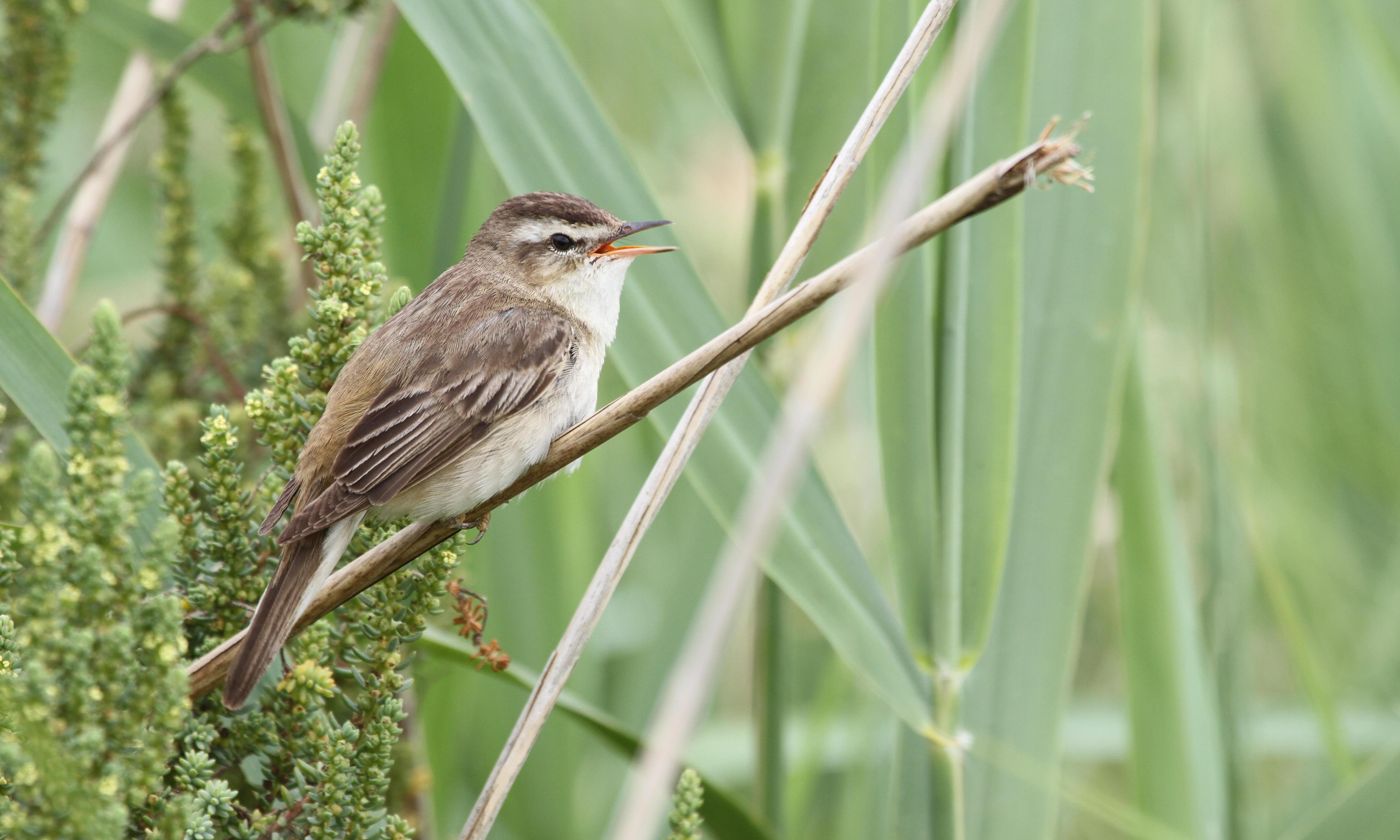 Country diary: this sedge warbler has never suffered from stage fright
