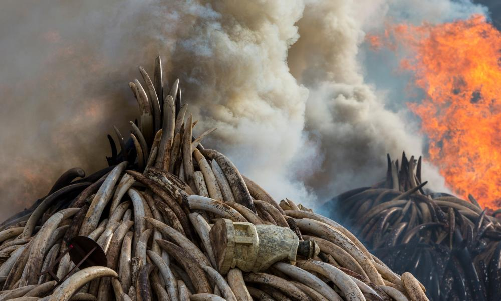 Fire takes hold of the ivory pyres in Nairobi National Park, where 105 tonnes of ivory from Kenya's stockpiles were burned on 30 April 2016.