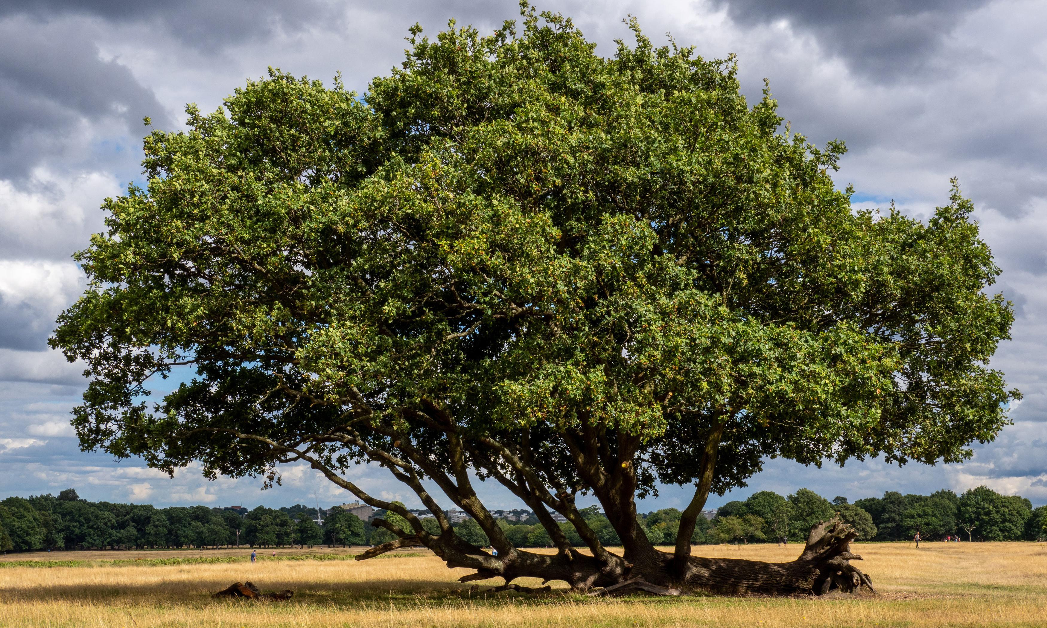 England's tree of the year competition unearths myths and legends