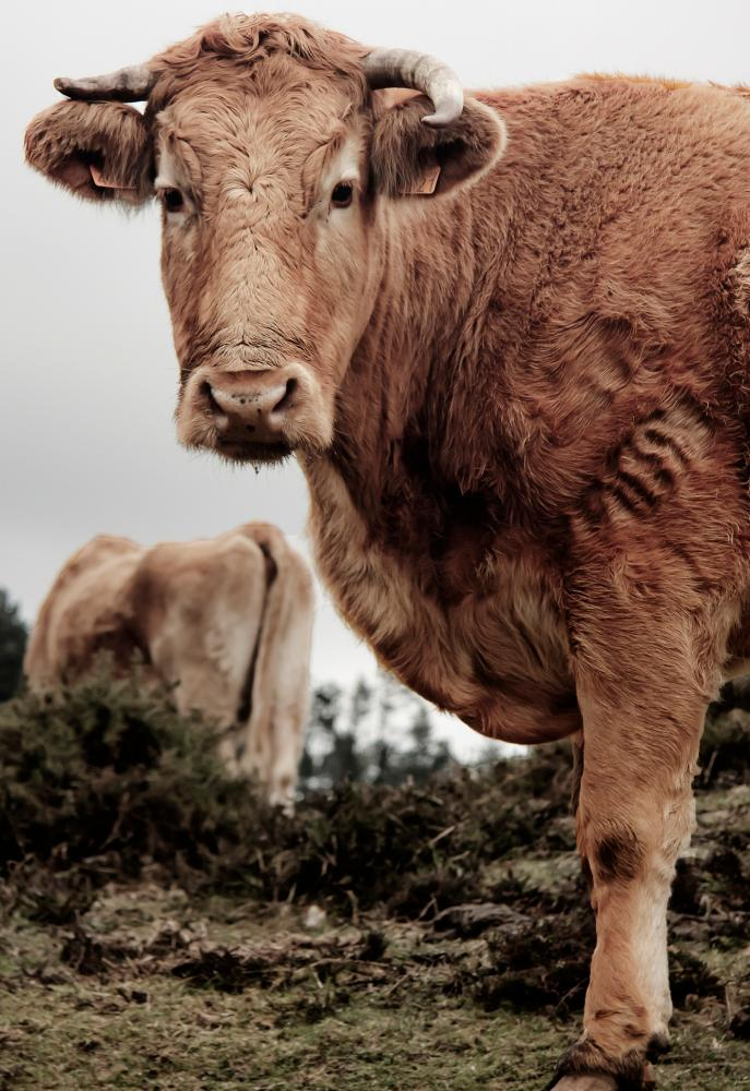 Galician blond cow: by the time they are slaughtered at up to 18 years old, they are large, muscular animals