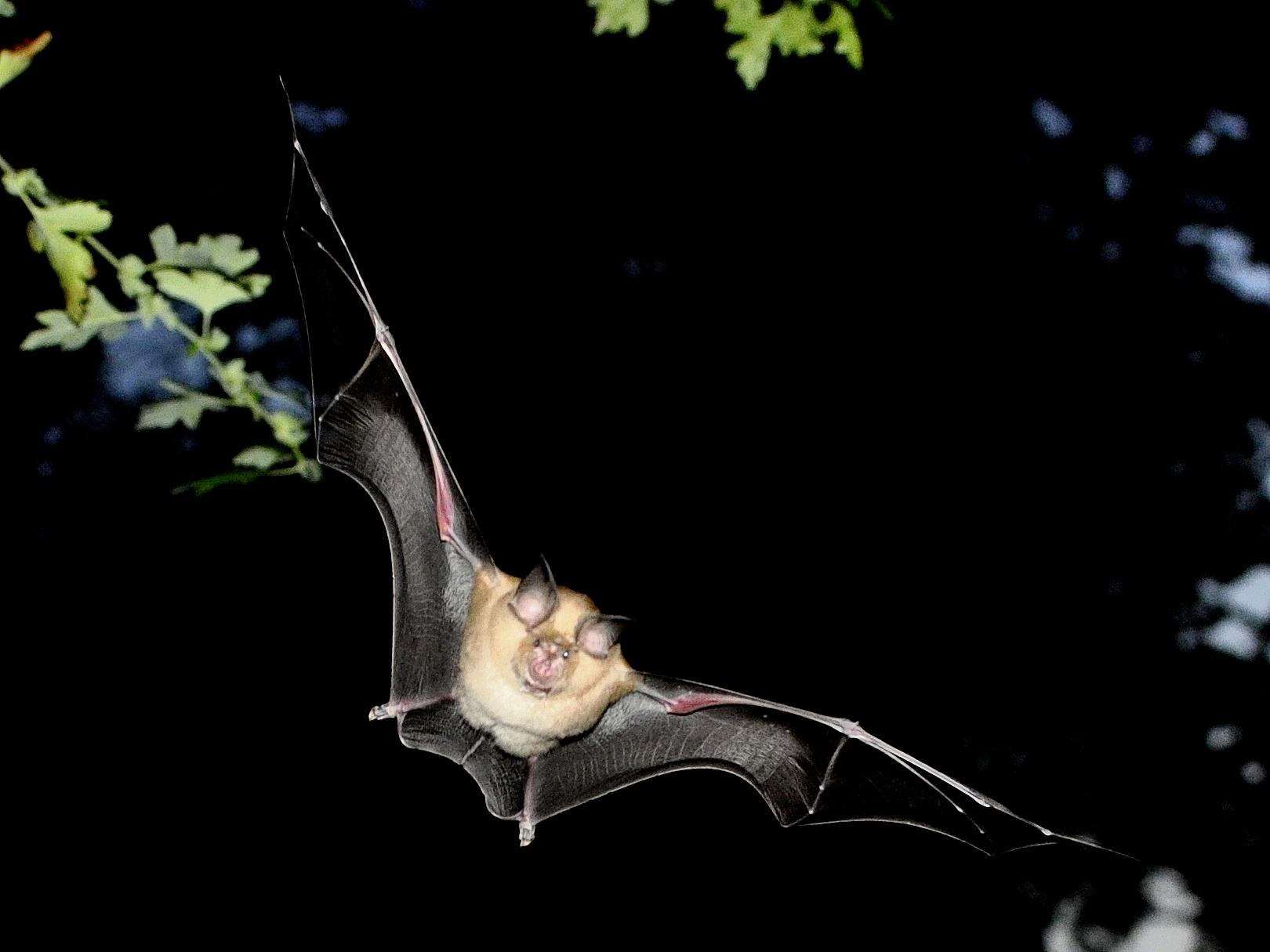 Country diary: you could set your watch by these commuting bats