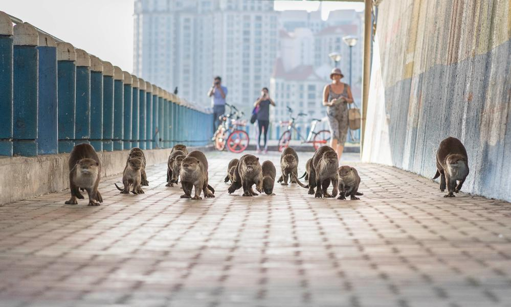A otter family travels through an underpass in Singapore.