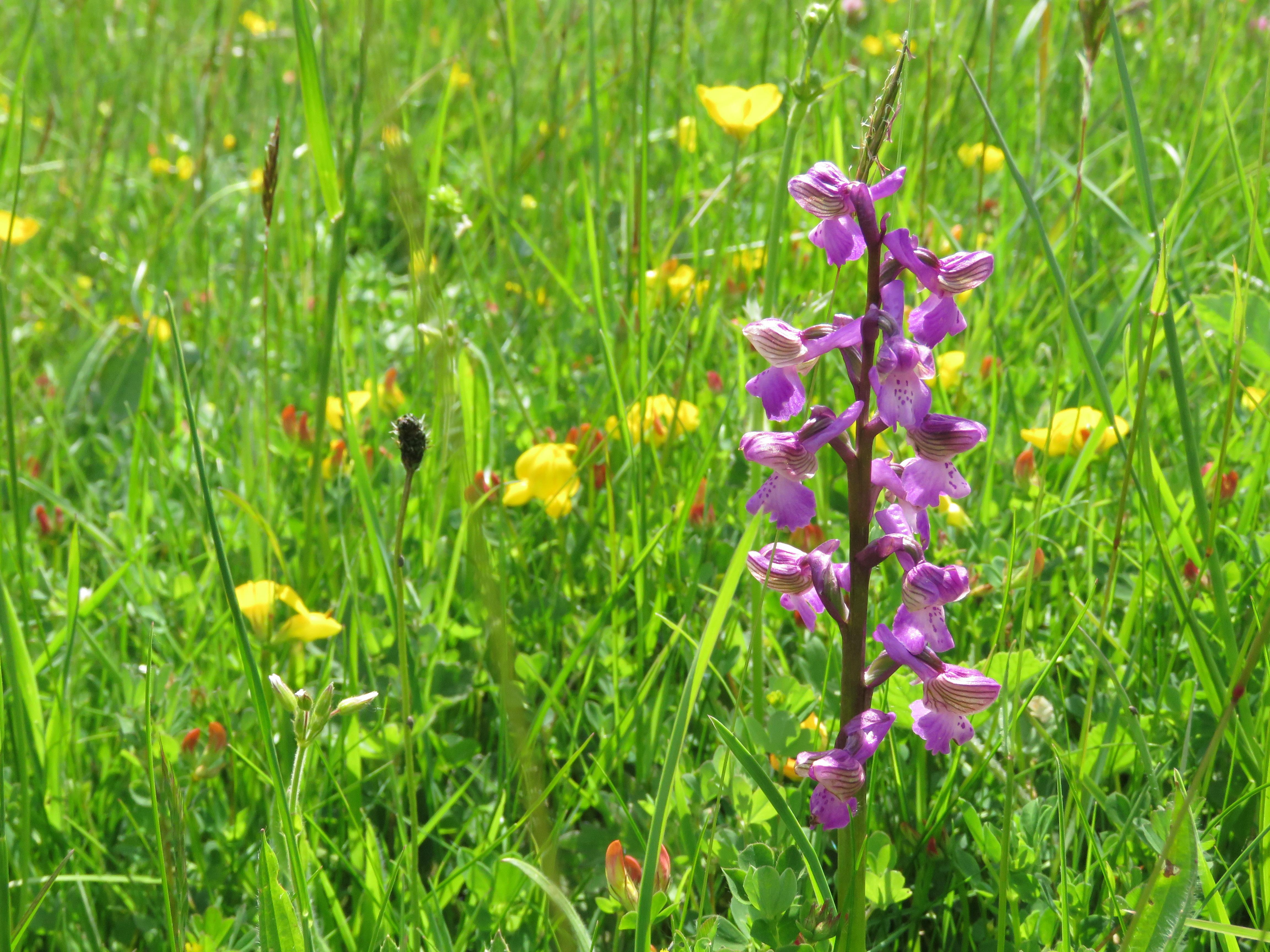 Country diary: the prodigal orchids, returned at last