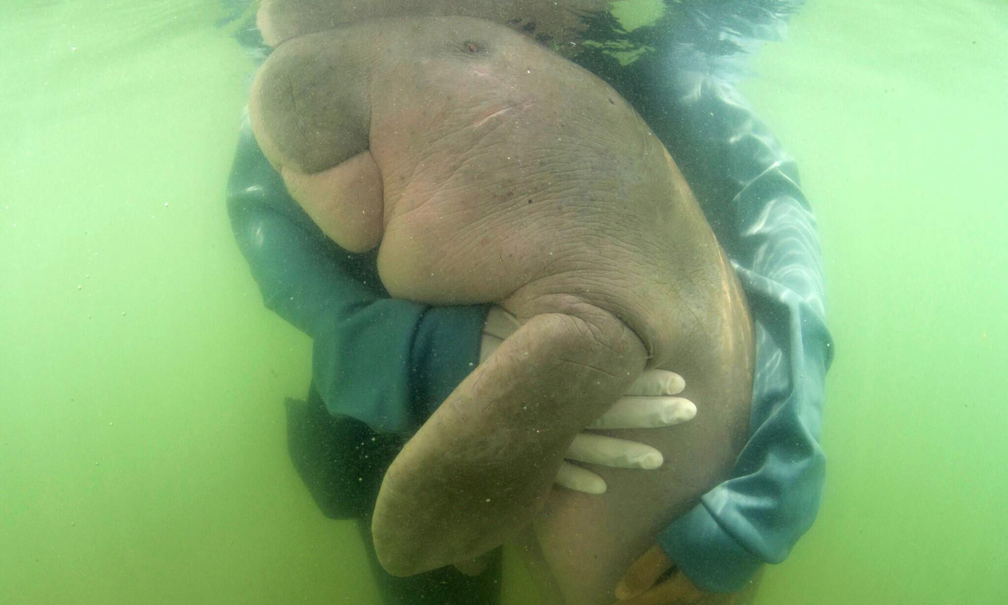'The nation's sweetheart': Thailand falls in love with orphaned baby dugong