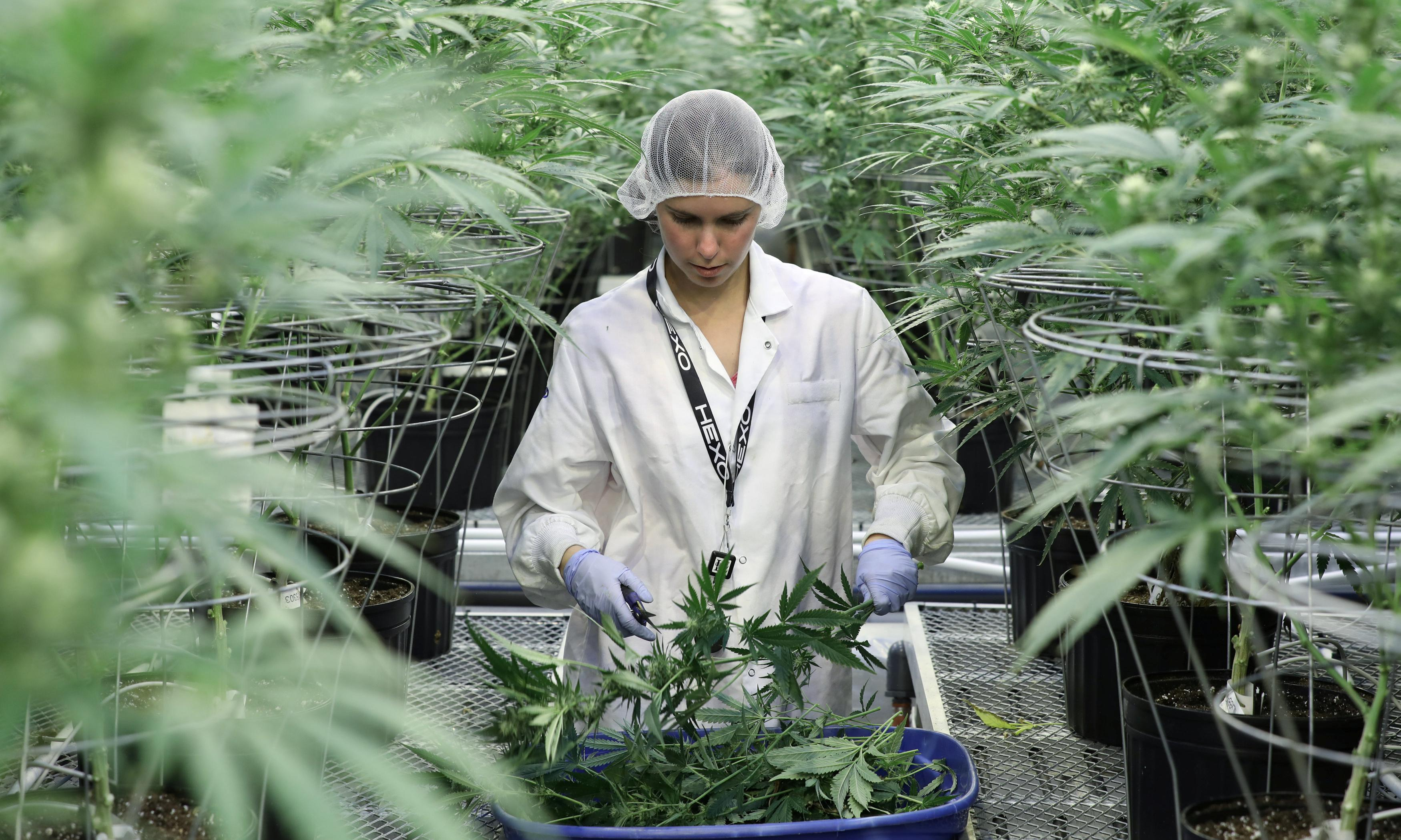 High stakes: cannabis capitalists seek funds to drive drug trade