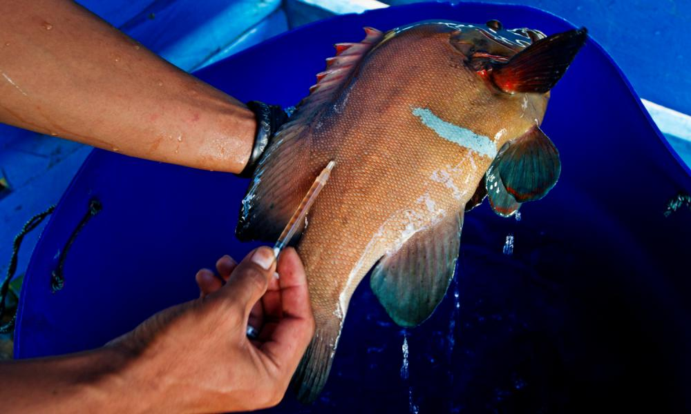 Fish are often caught using potassium cyanide and then injected with antibiotics to keep them alive.