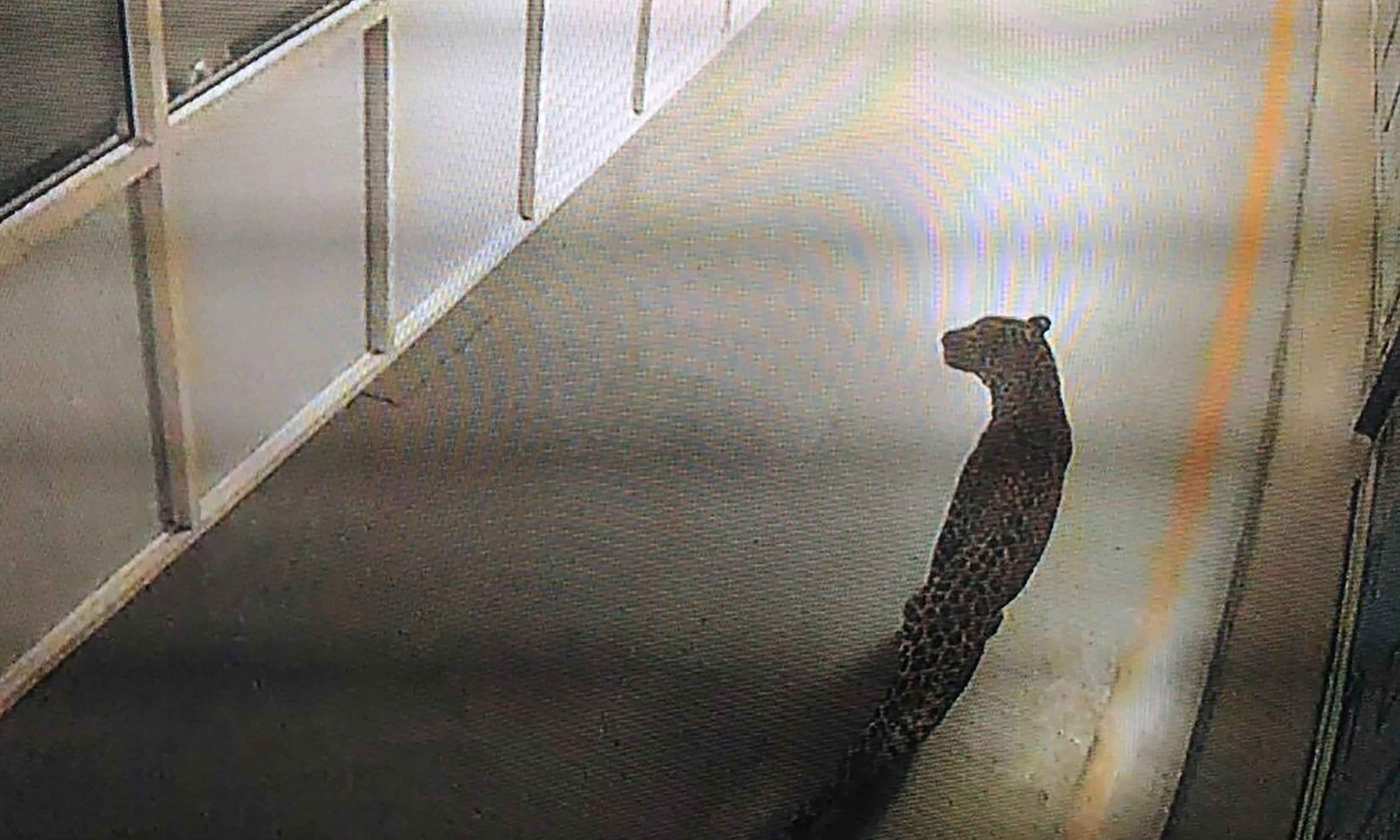 Leopard captured after 36 hours on the loose at Indian car plant
