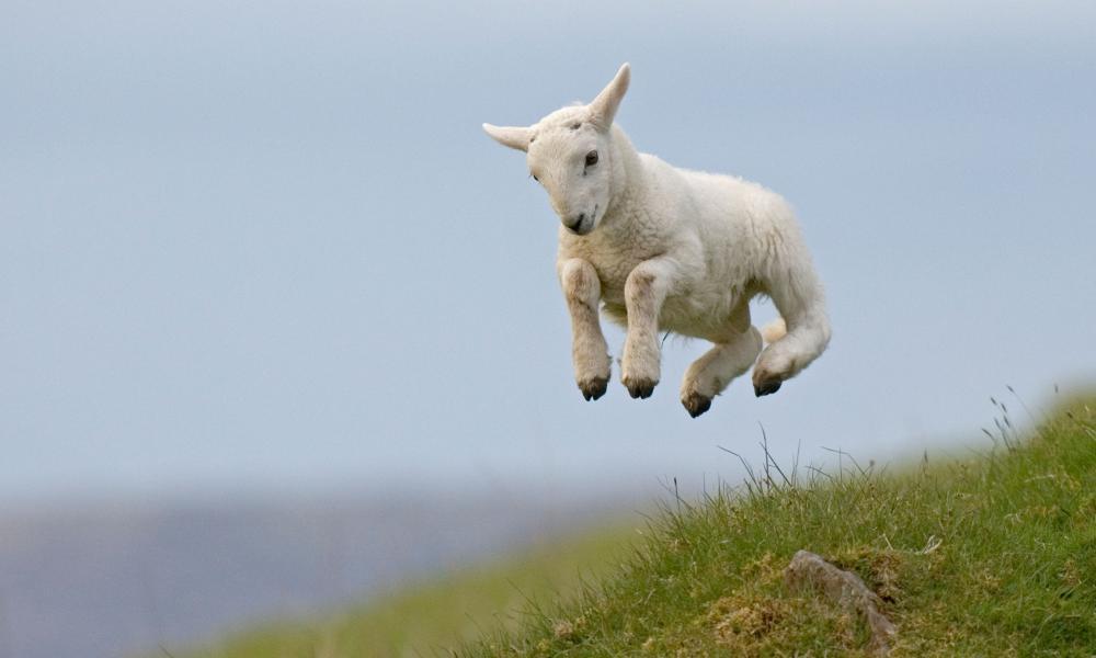 Spring Lamb jumping