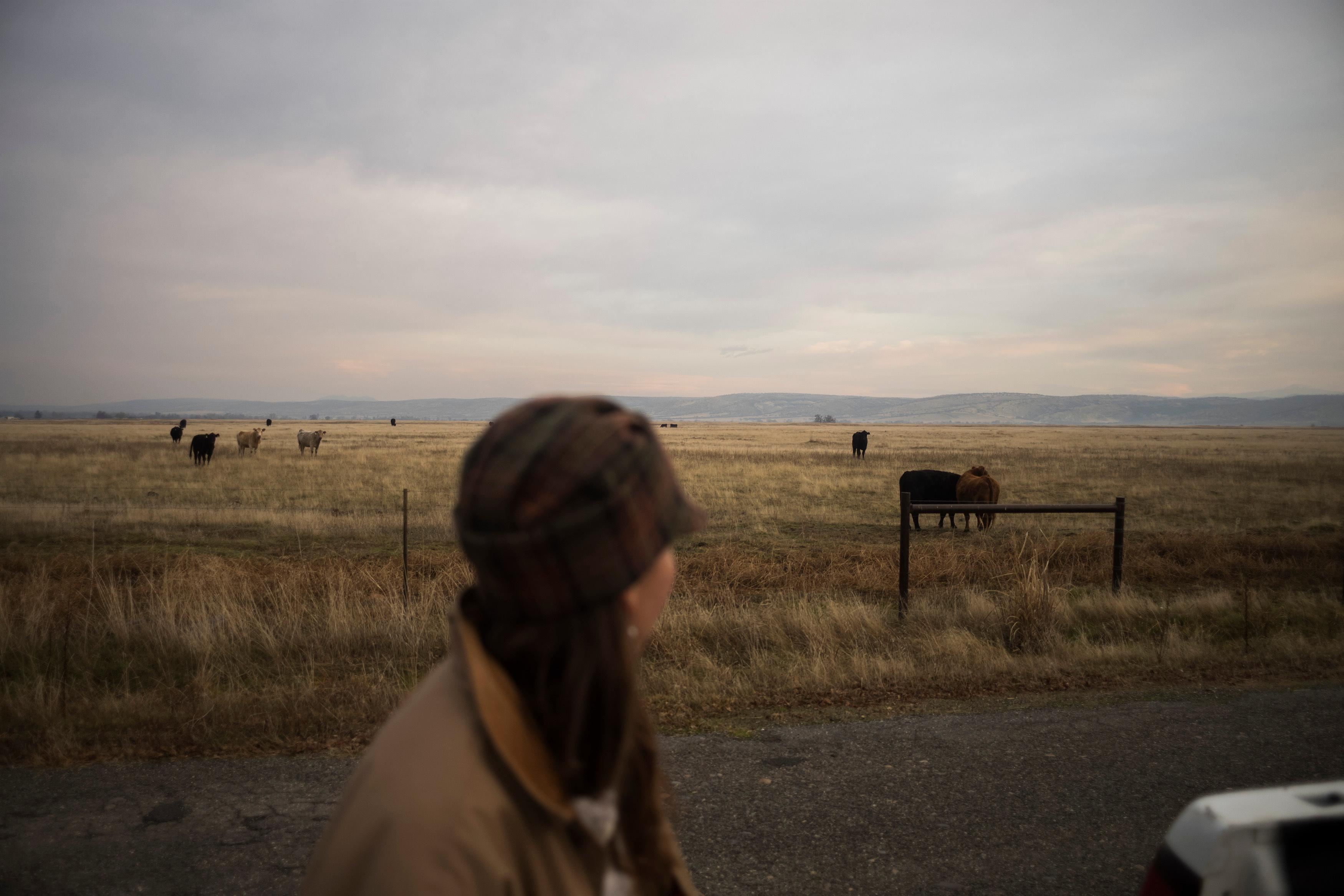 'It's tough sleeping at night': ranchers seek to protect herds as wolves move in
