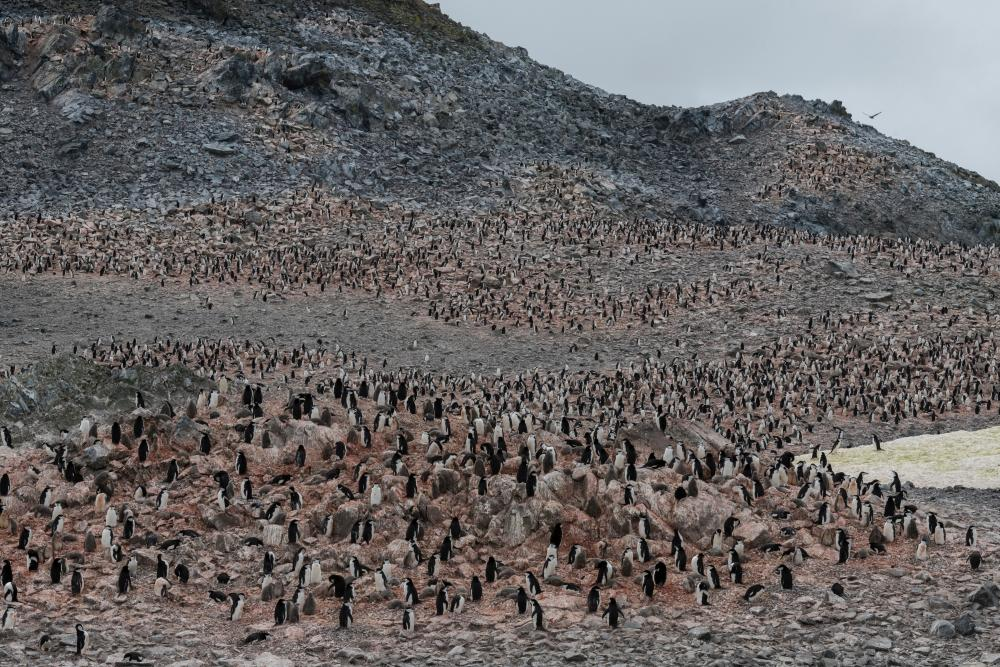 A chinstrap penguin colony on Low Island.