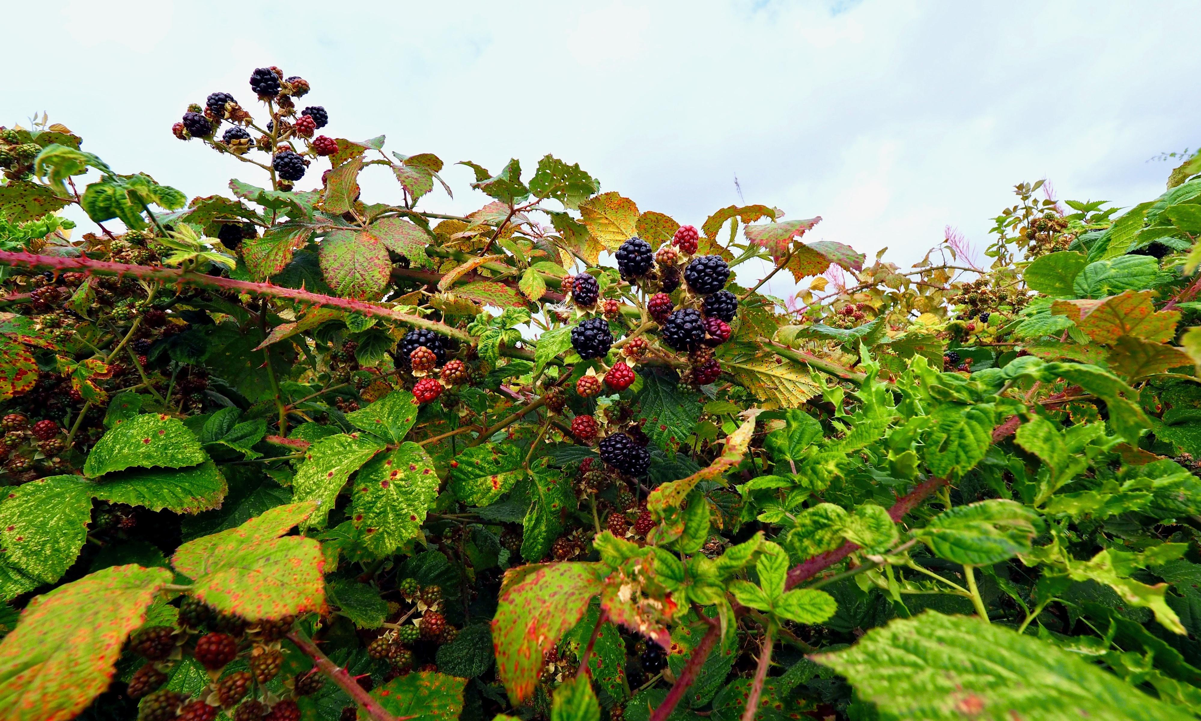 Country diary: blackberries are ripe with possibility and paradox
