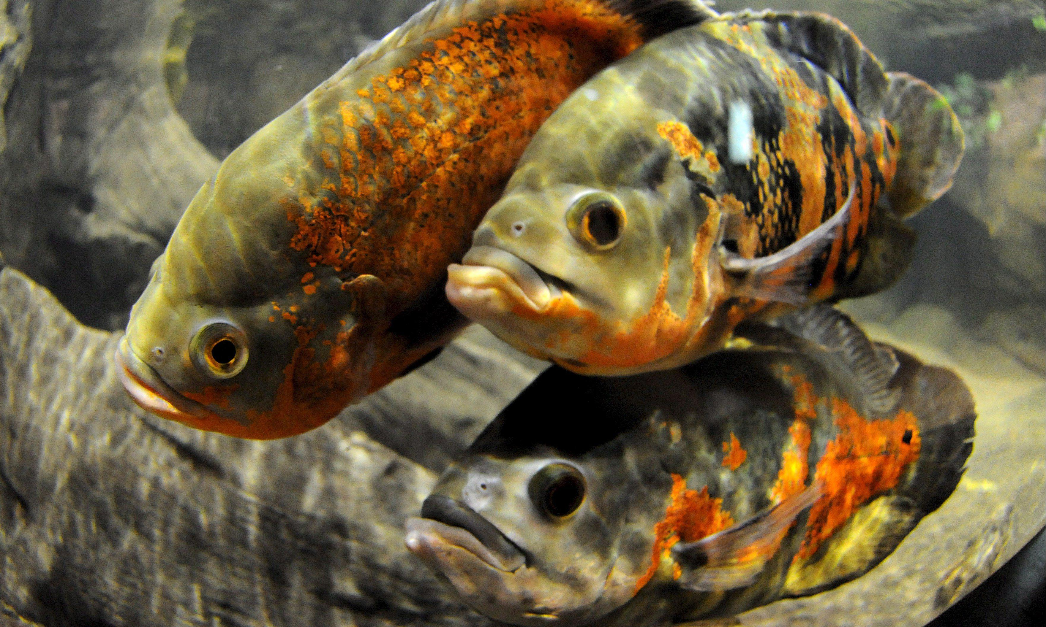 Lovelorn fish have gloomier outlook, study finds