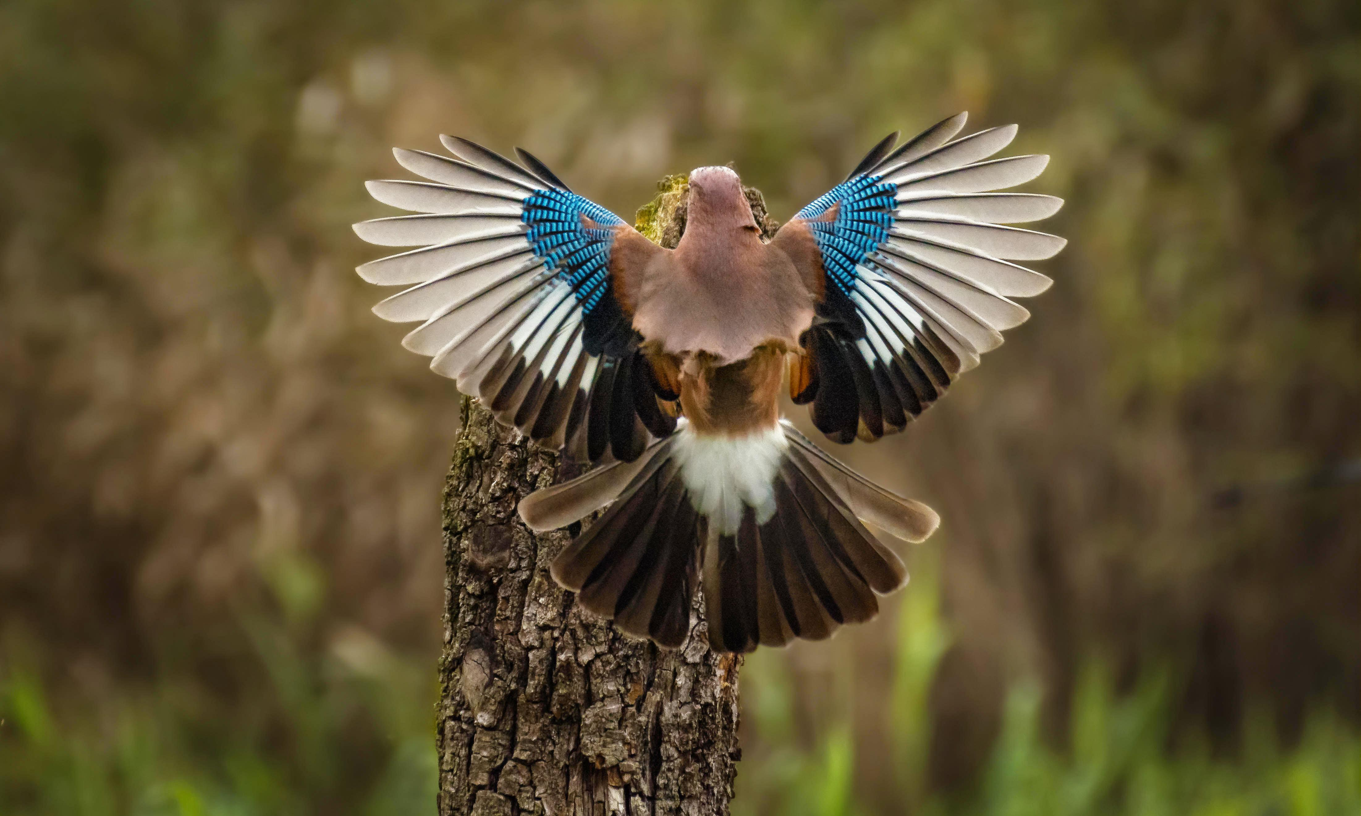 Country diary: colourful jays with electrifying chat