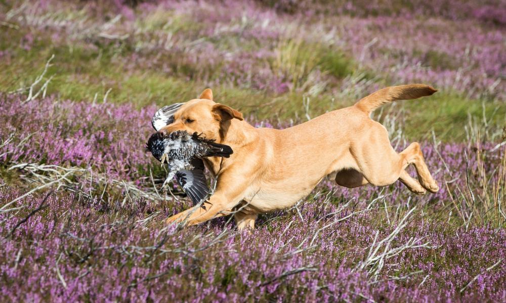 A dog retrieves a shot grouse