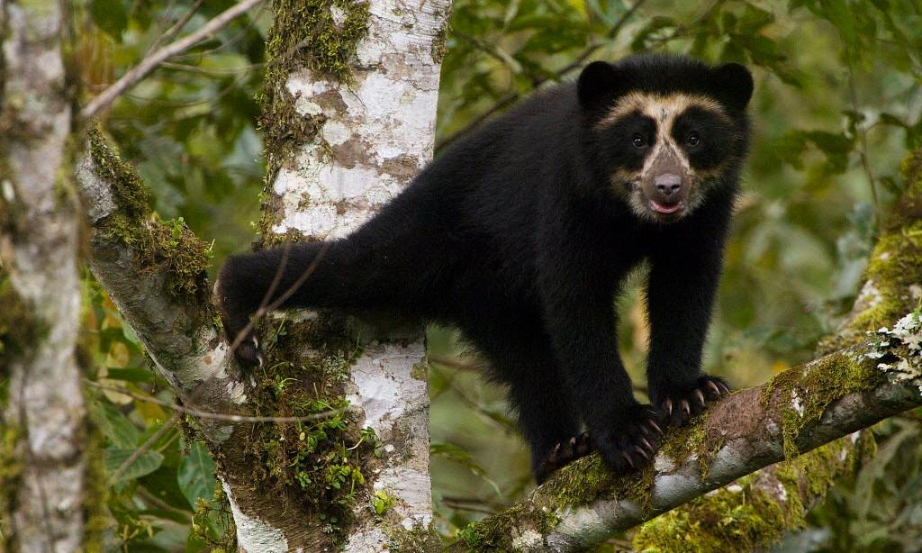 Rare Andean bears flock to cloud forest to feast on wild avocados