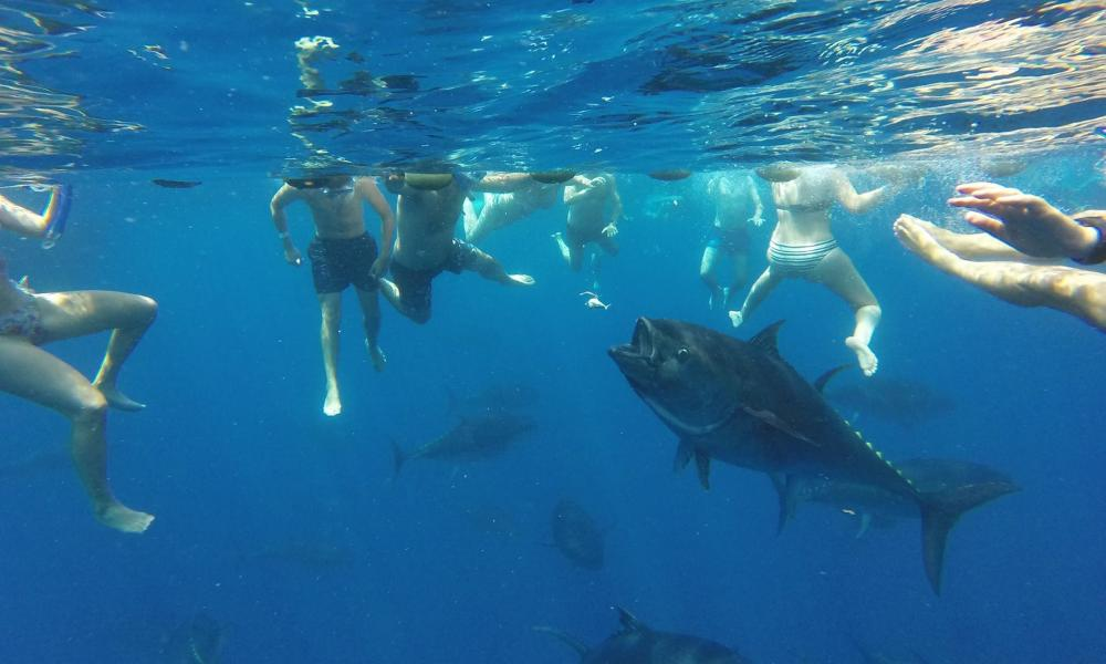 snorkelling with bluefin tuna