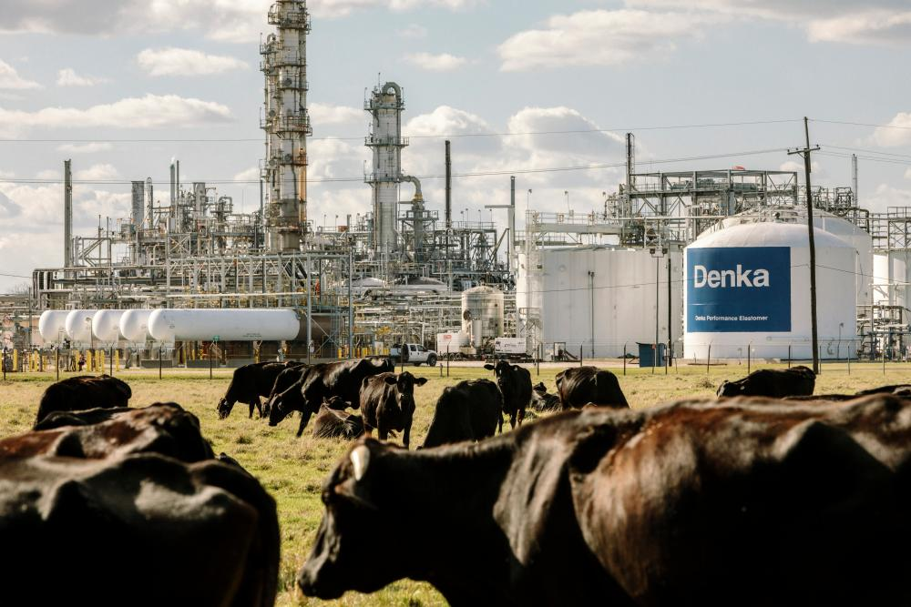 Cows graze on land bordering the Dupont/Denka plant.