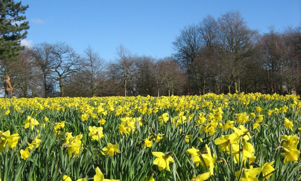 Daffodils in Field of Hope, planted by Marie Curie charity, Sefton Park, Liverpool