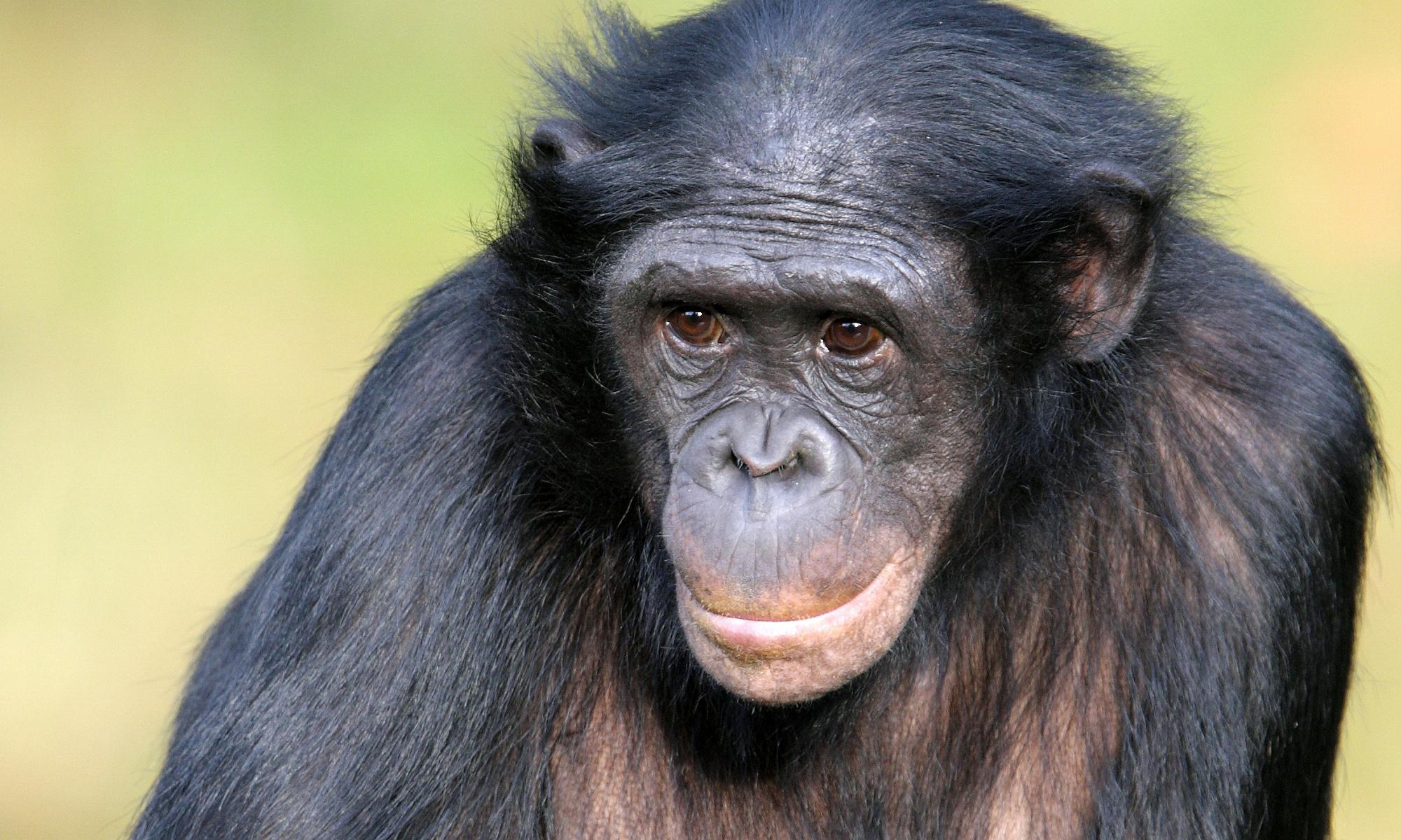 Pushy bonobo mothers help sons find sexual partners, scientists find