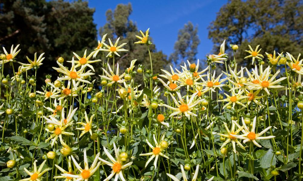 Dahlia will be among the stars of the show.