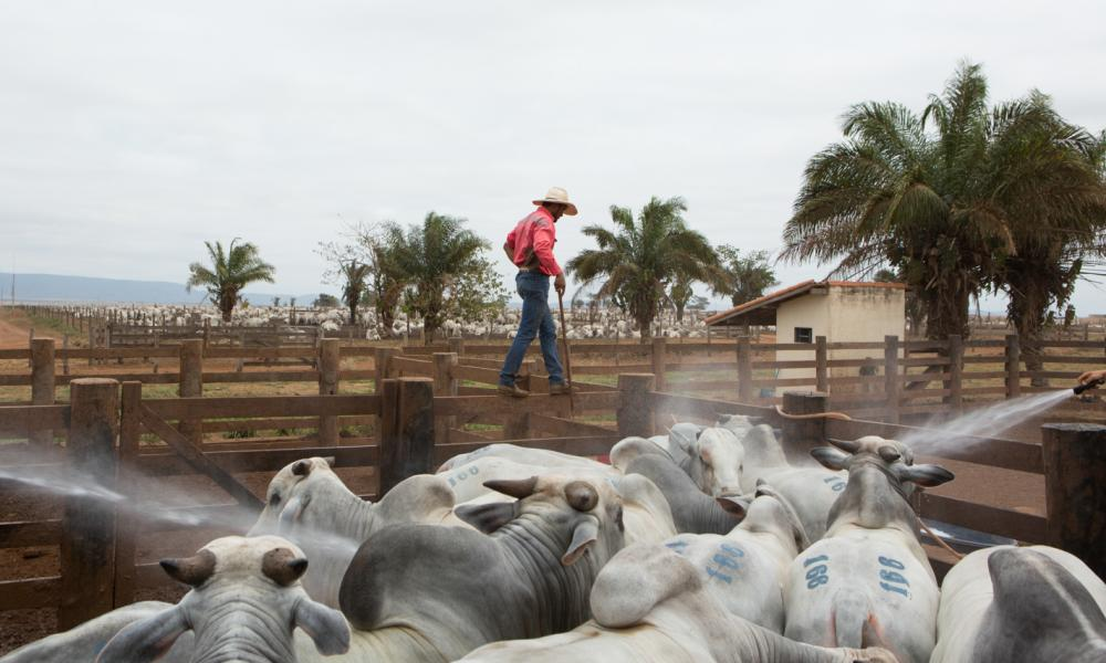 A cowboy walks in middle of the cattle in the farm. Pontes e Lacerda, Brazil, 2015