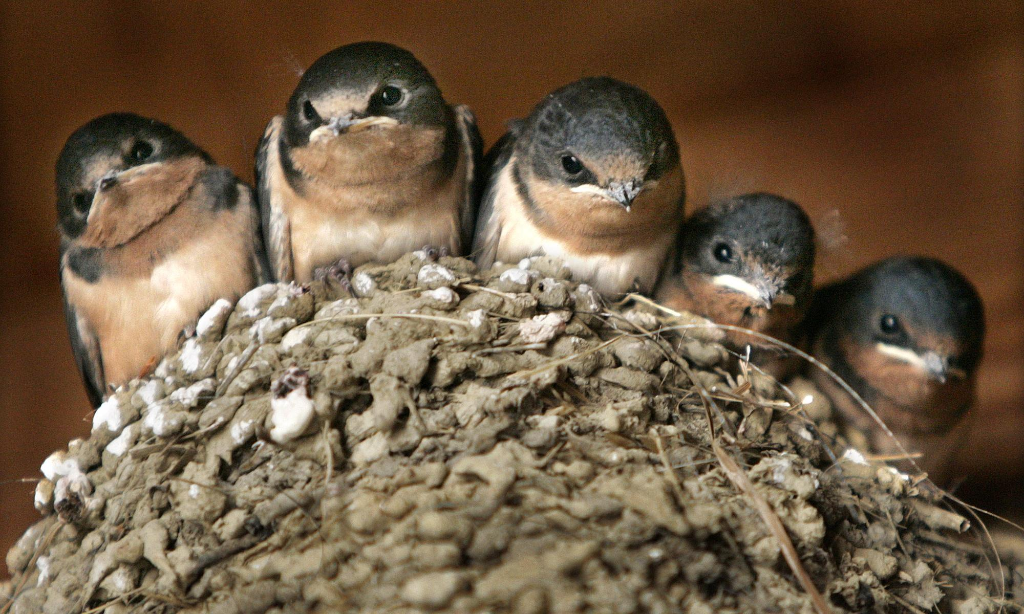 Are nets to stop swallows nesting any way to treat the natural world?