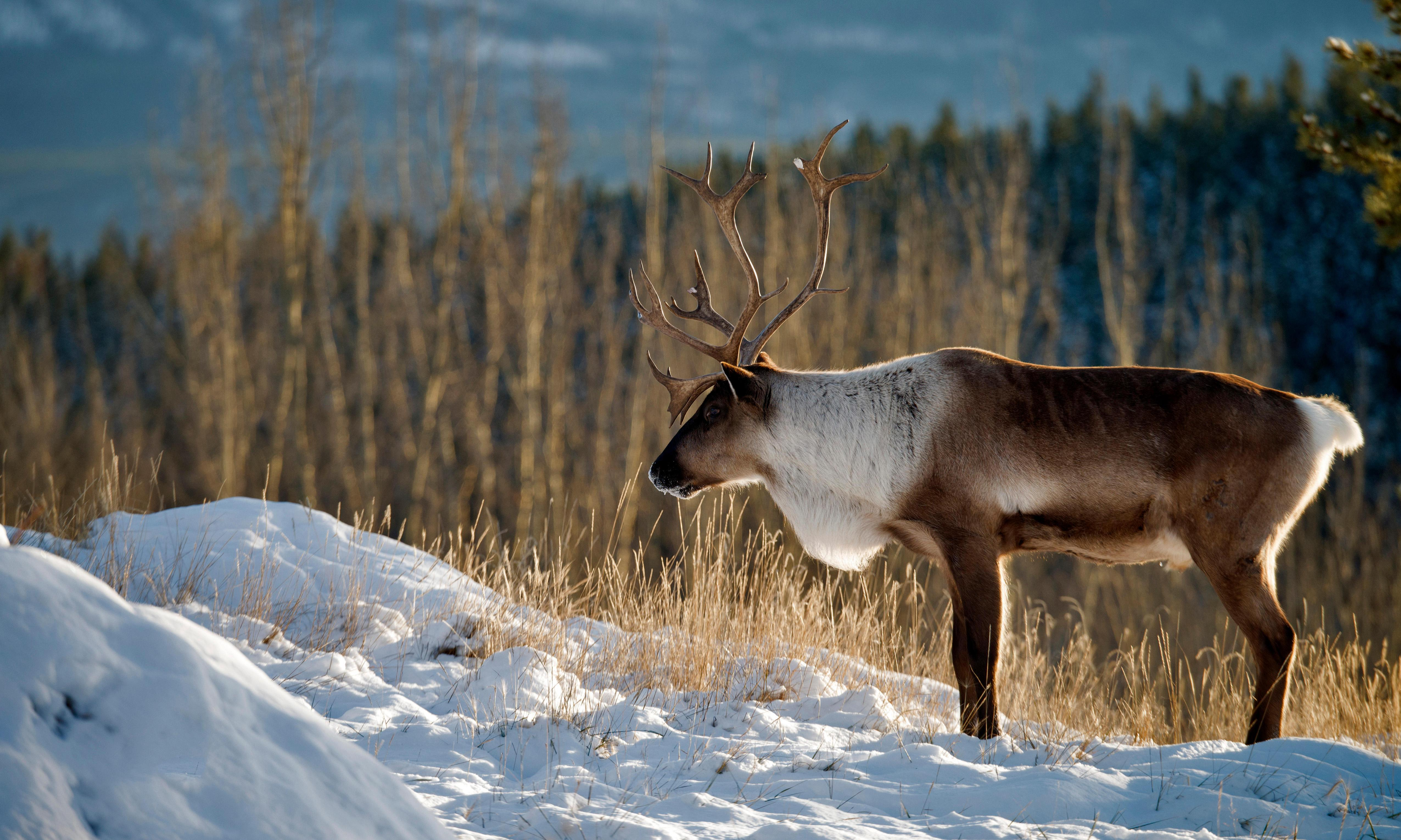 Last caribou in lower 48 US states all but extinct: 'The herd is functionally lost'