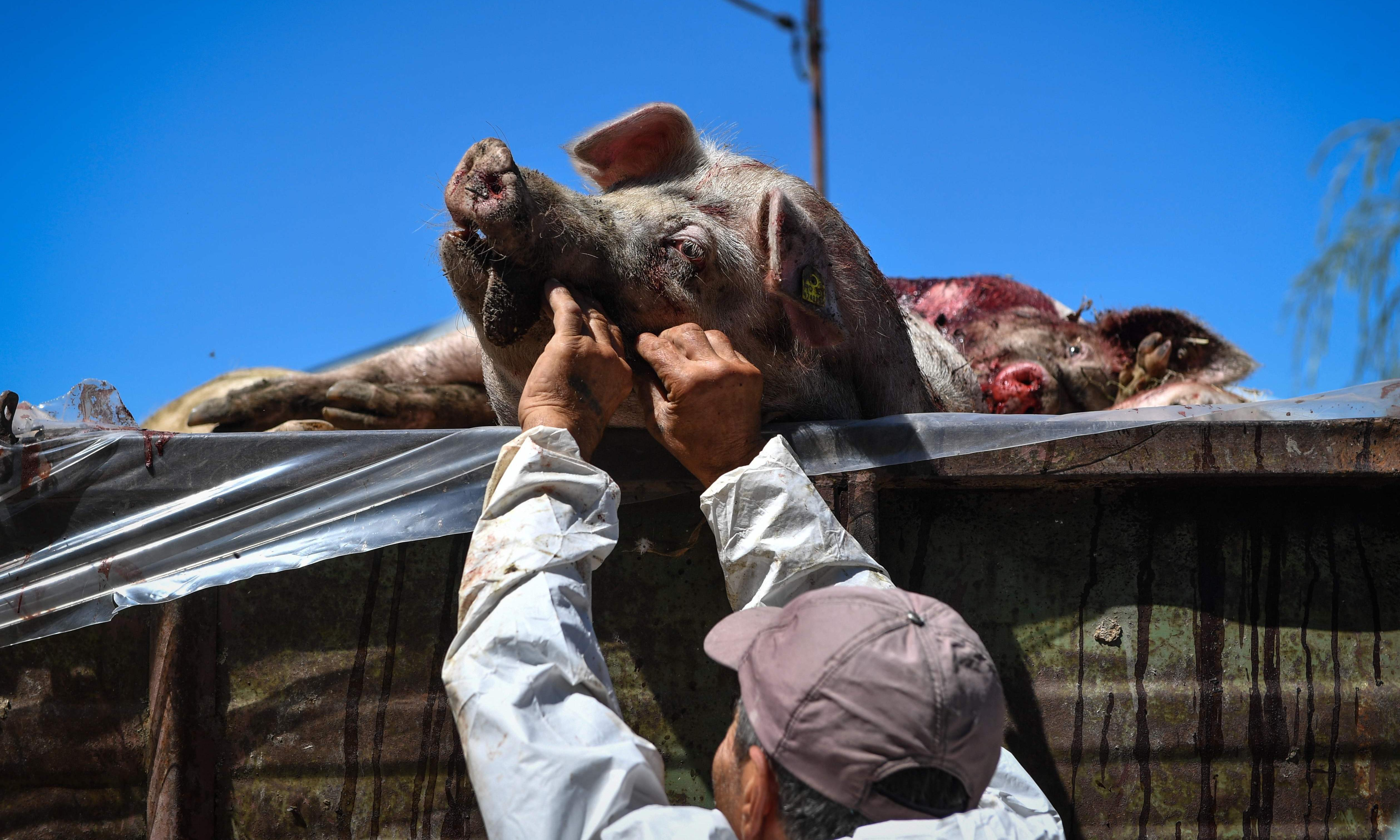 'It's not if, it's when': the deadly pig disease spreading around the world