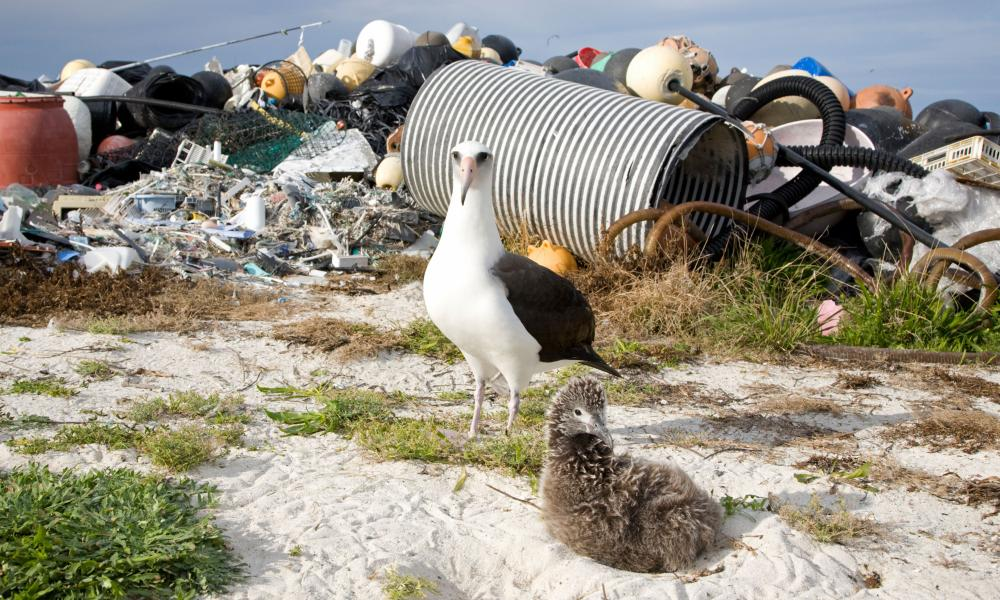 An albatross adult and chick next to marine debris collected by volunteers on Midway Atoll, Pacific Ocean.