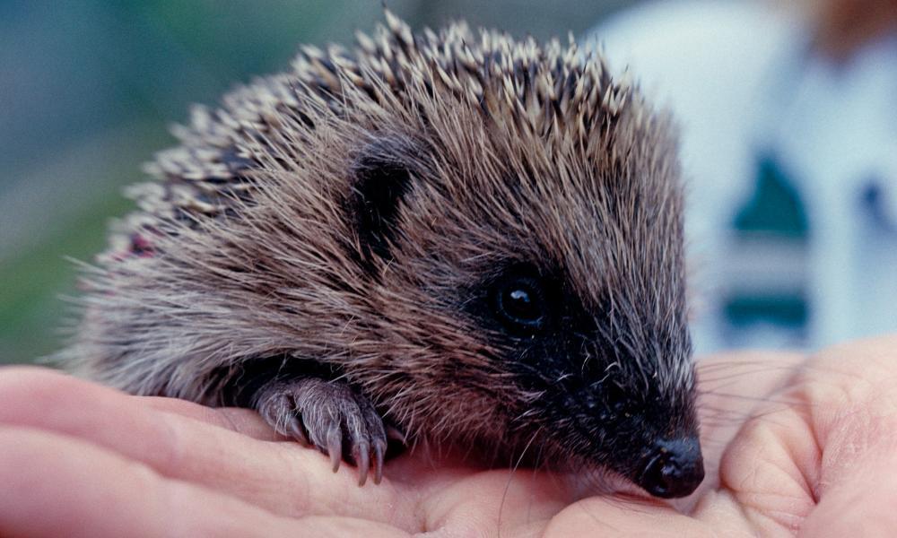 A baby hedgehog at Tiggywinkles.