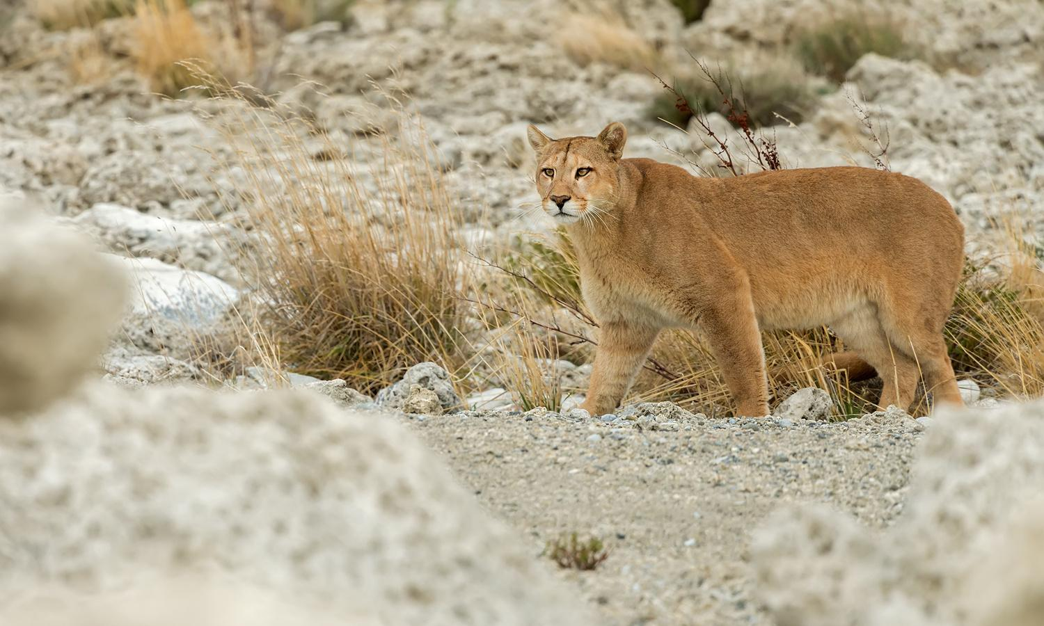 Oldest parasite DNA yet recorded found in prehistoric puma poo