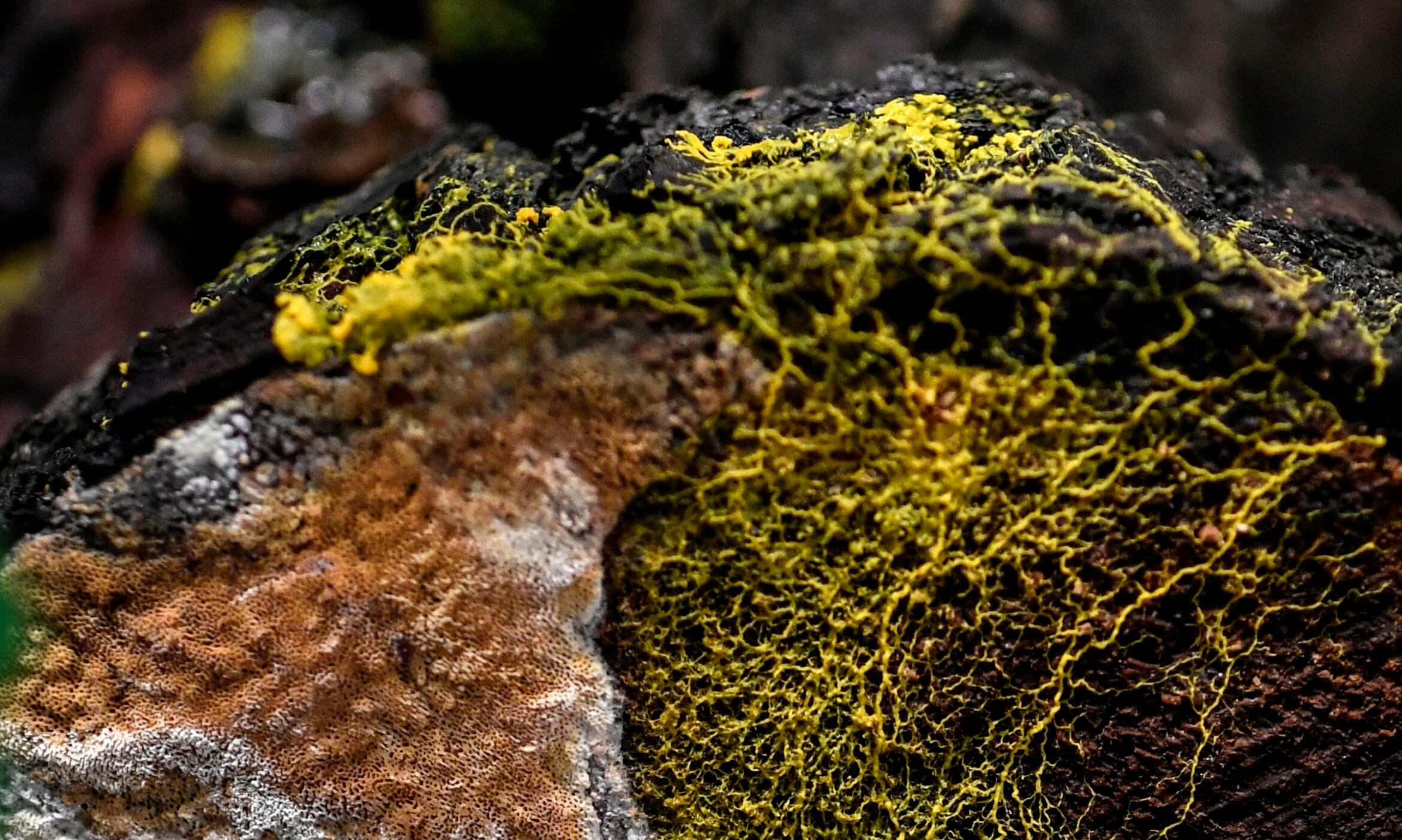 The 'blob': zoo showcases slime mold with 720 sexes that can heal itself in minutes