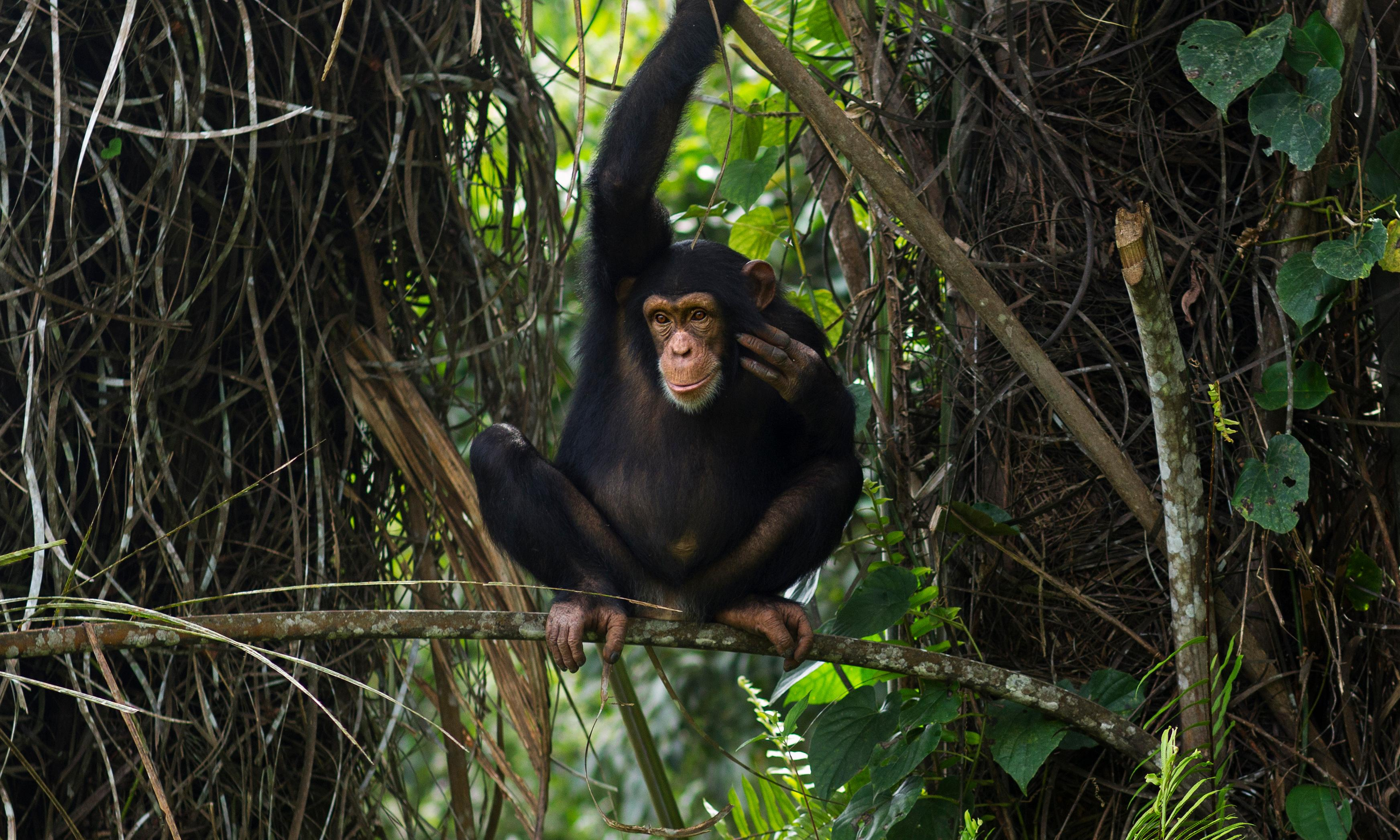 Chimpanzees 'talk' just like humans. It's time to realise how similar we are