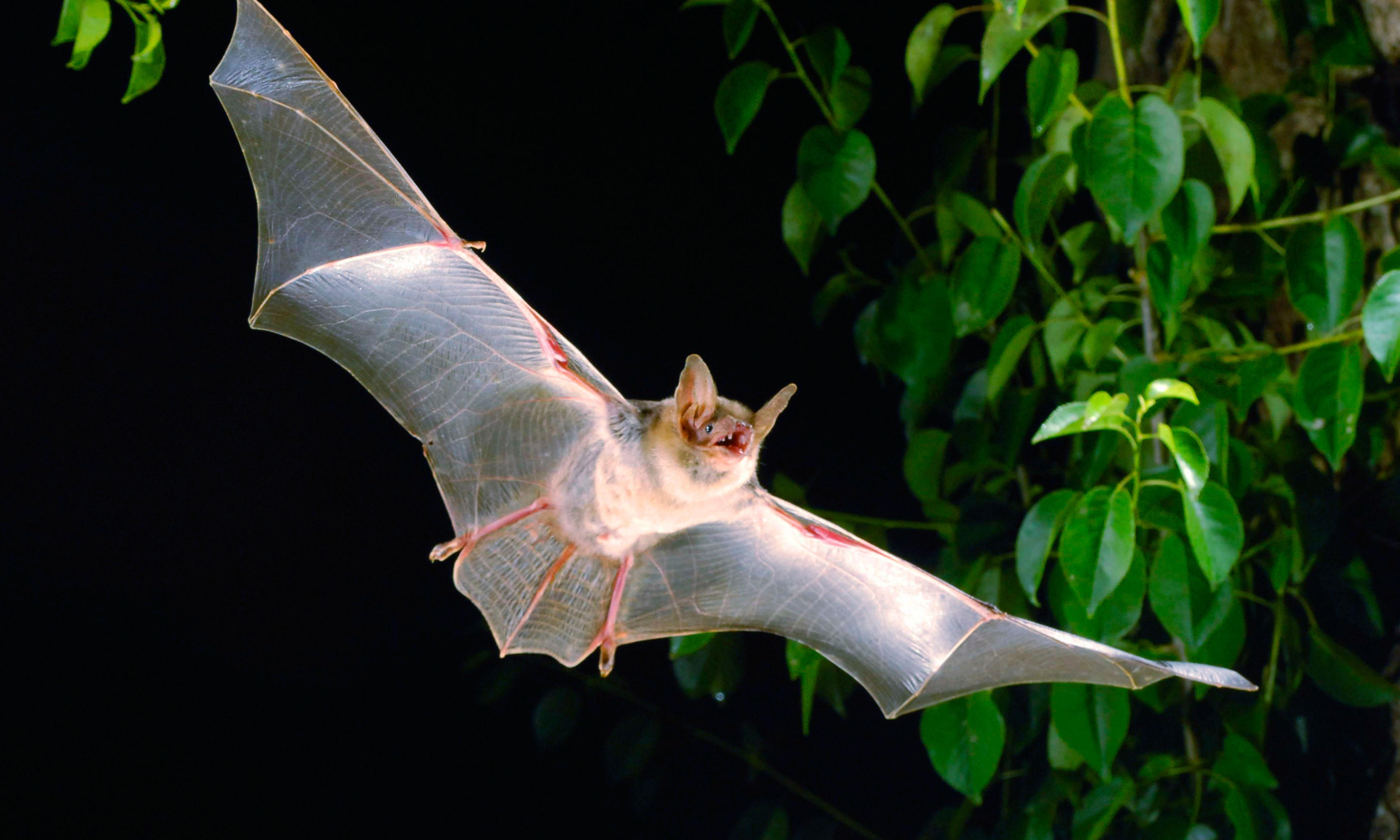 Britain's loneliest bat takes to the stage