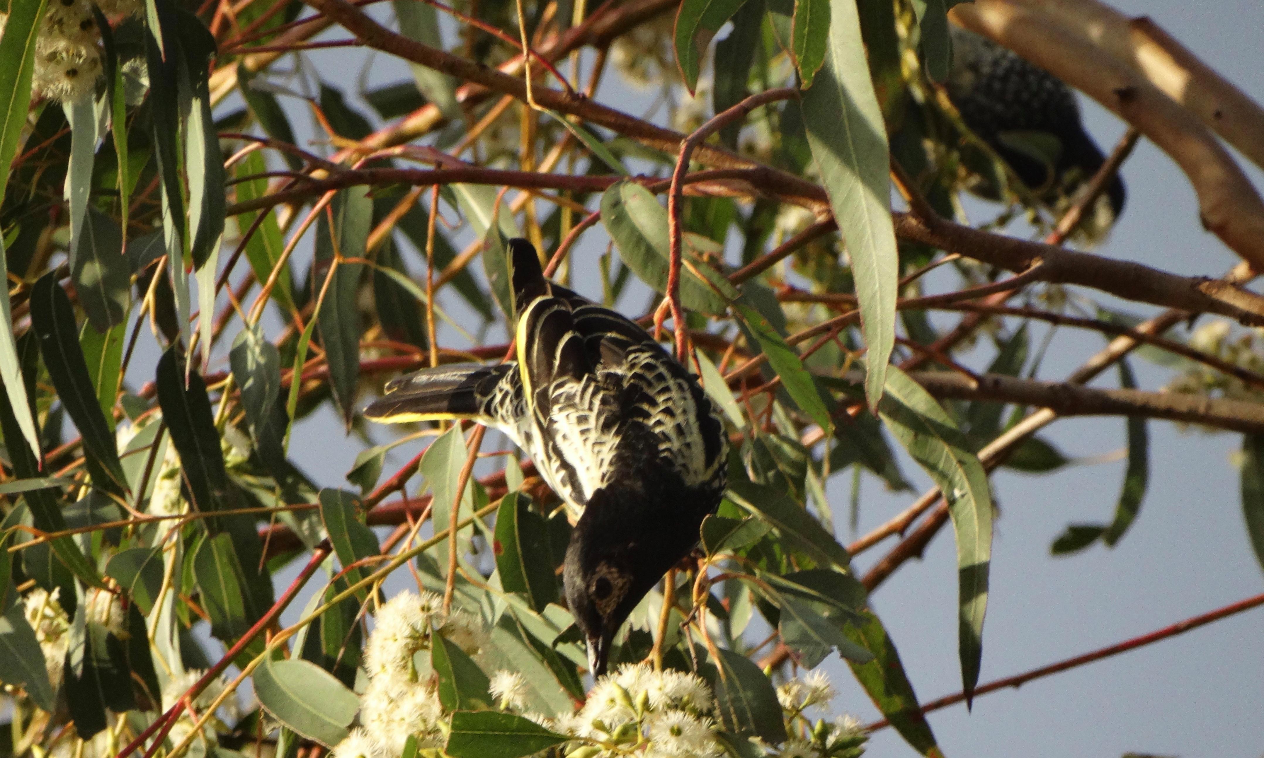 Why I'm voting No 1 regent honeyeater in the Australian bird of the year poll