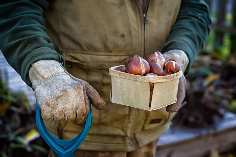 Man holding a box of tulip bulbs ready to plant
