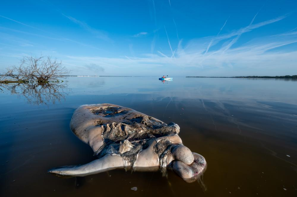 Jason Gulley's photograph of a dead manatee floating in the Indian River Lagoon, Florida.