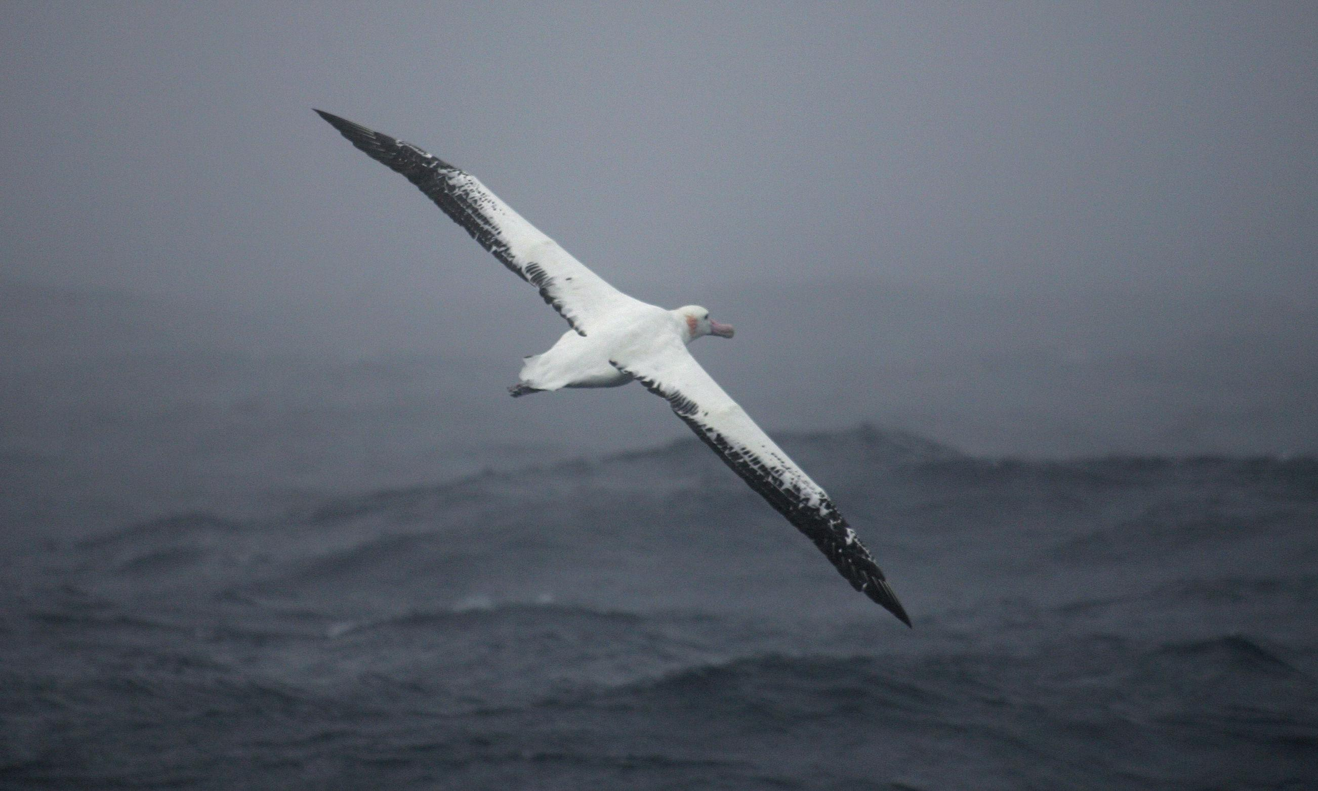 'Intelligent drones': albatross fitted with radar detectors to spot illegal fishing