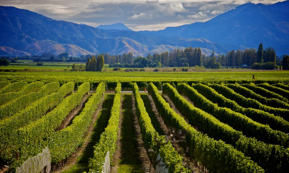 Marlborough wine crop in New Zealand
